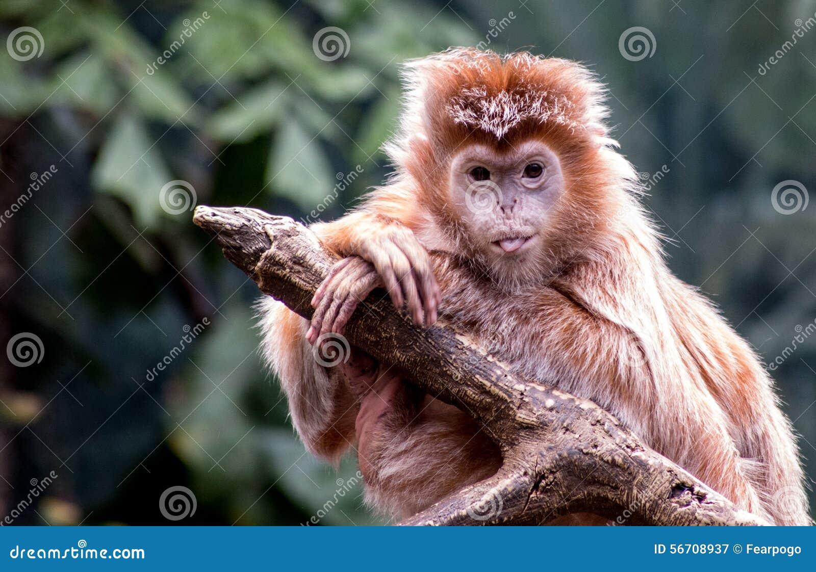ebony langur monkey sticks its tongue out stock image - image of