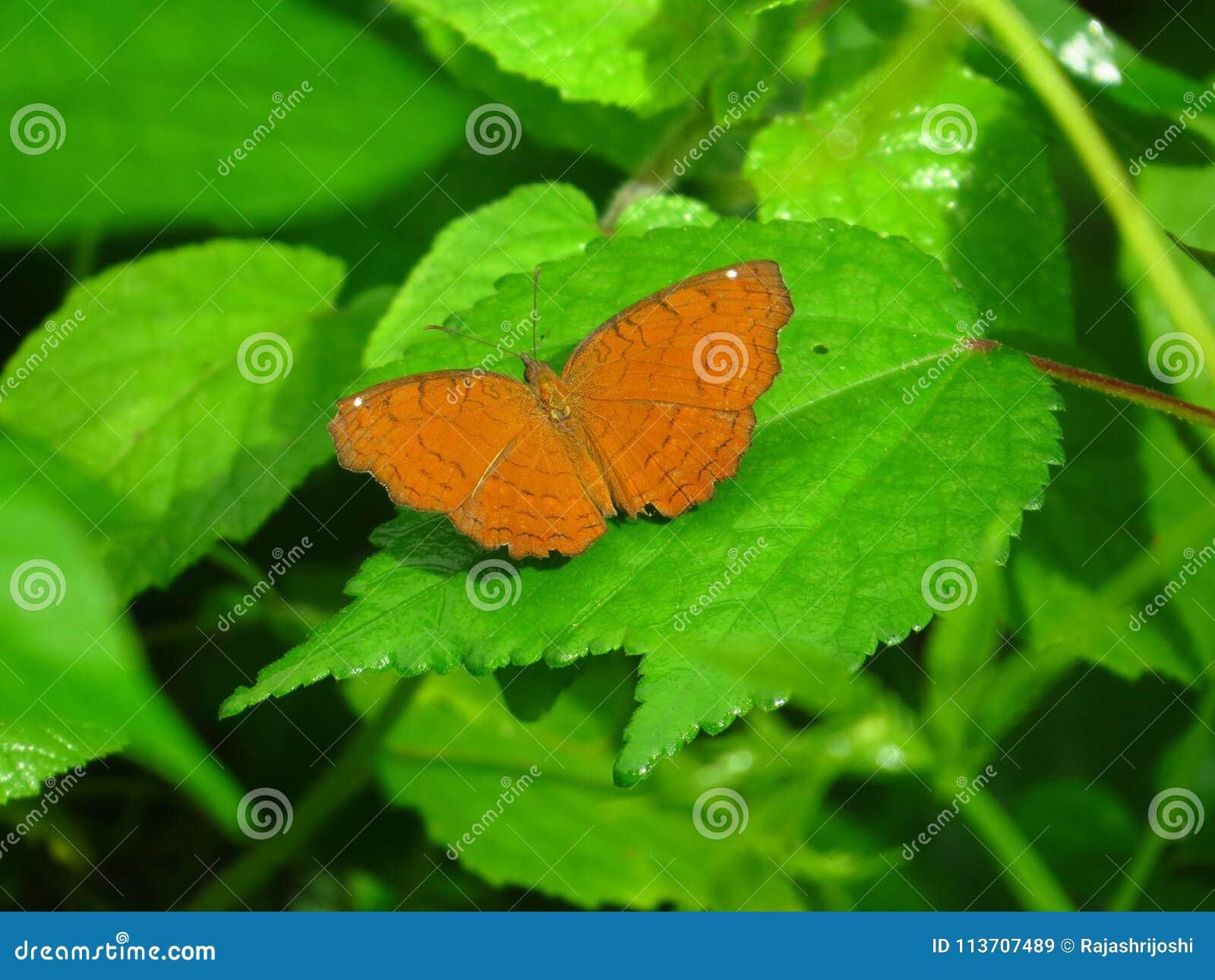 Echador anguloso y x28; Ariadne& x29 de Ariadne; mariposa