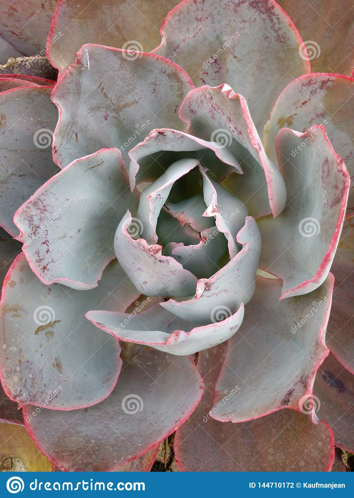 Echeveria cactus Big red light green succulent waxy leaves close up
