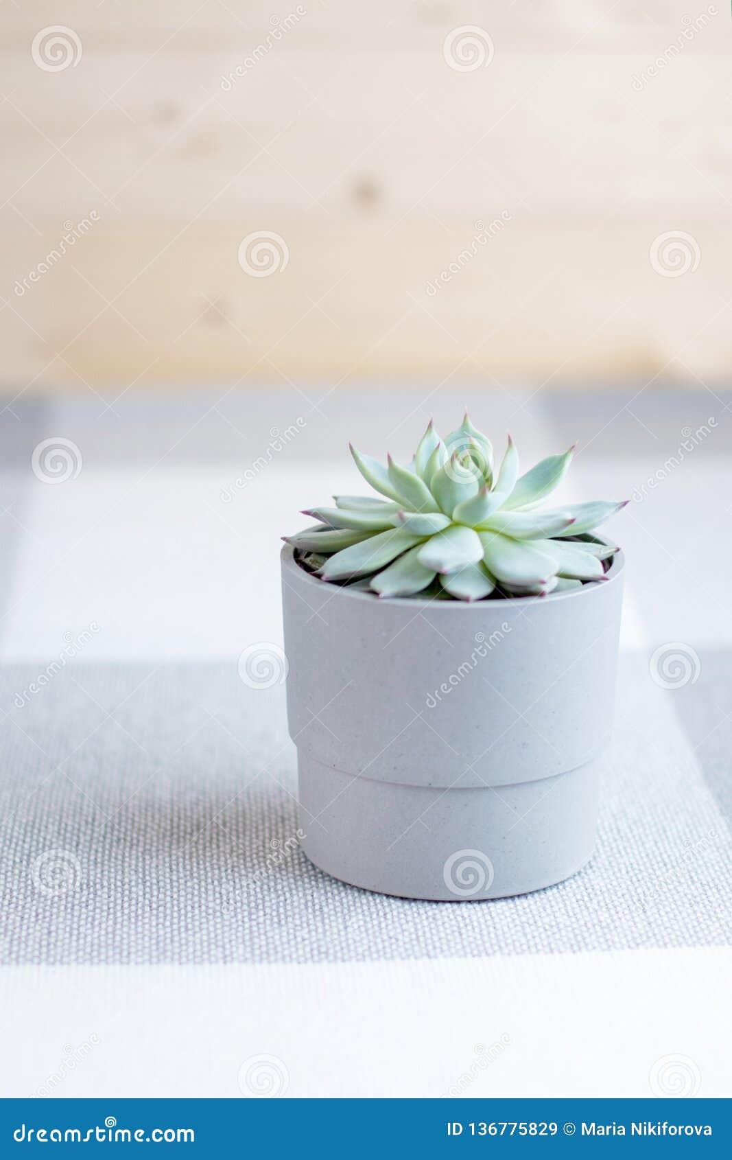 Echeveria colorata, suckulent blomma, mjuka färger, minsta stil som är vertikal med copyspace, smartphonebakgrund