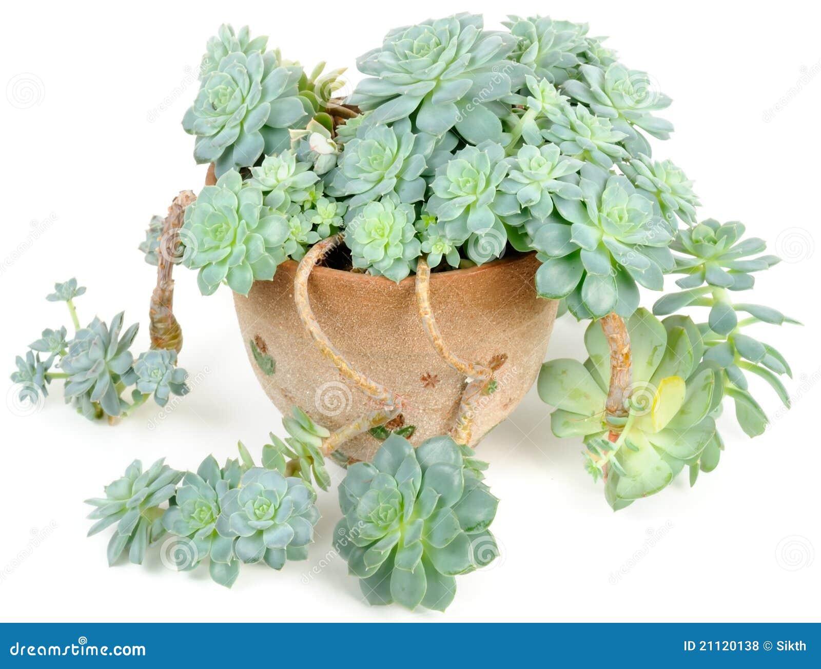 echeveria elegans in flower pot stock photo image 21120138. Black Bedroom Furniture Sets. Home Design Ideas