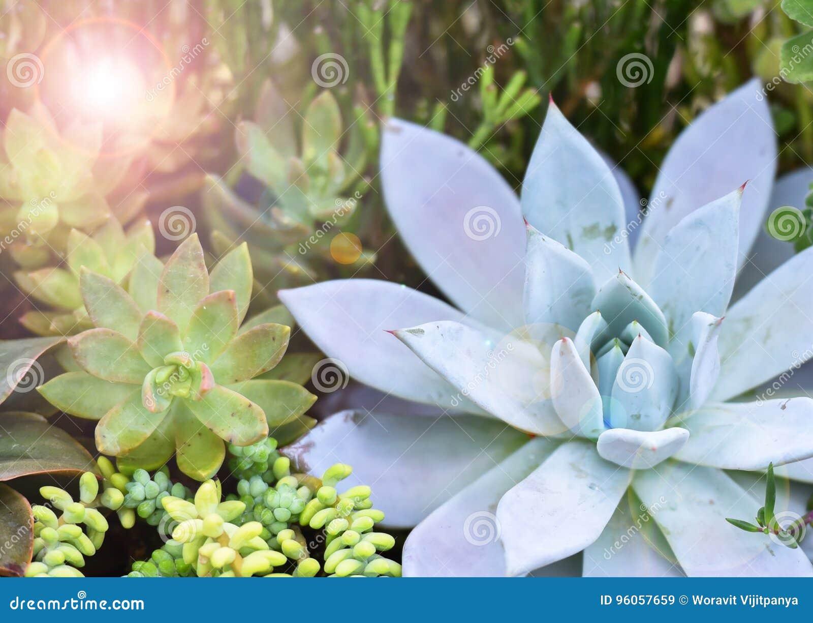 Echeveria et x28 ; Plants& succulent miniature x29 ;