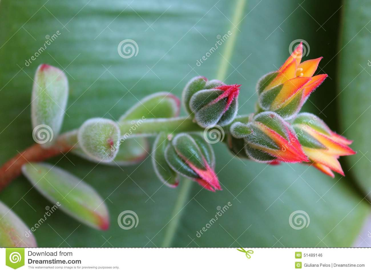 Echeveria Pulvinata And Flowers Stock Photo Image Of Green Bells