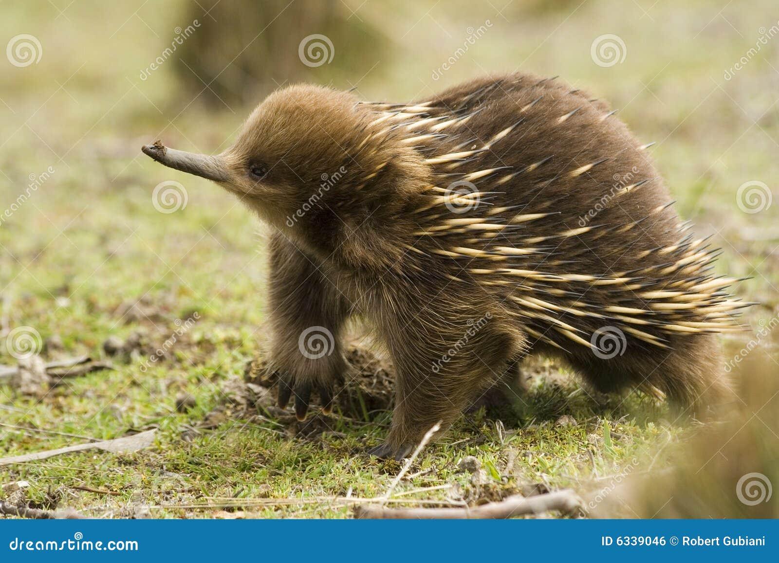 Echidna australiano