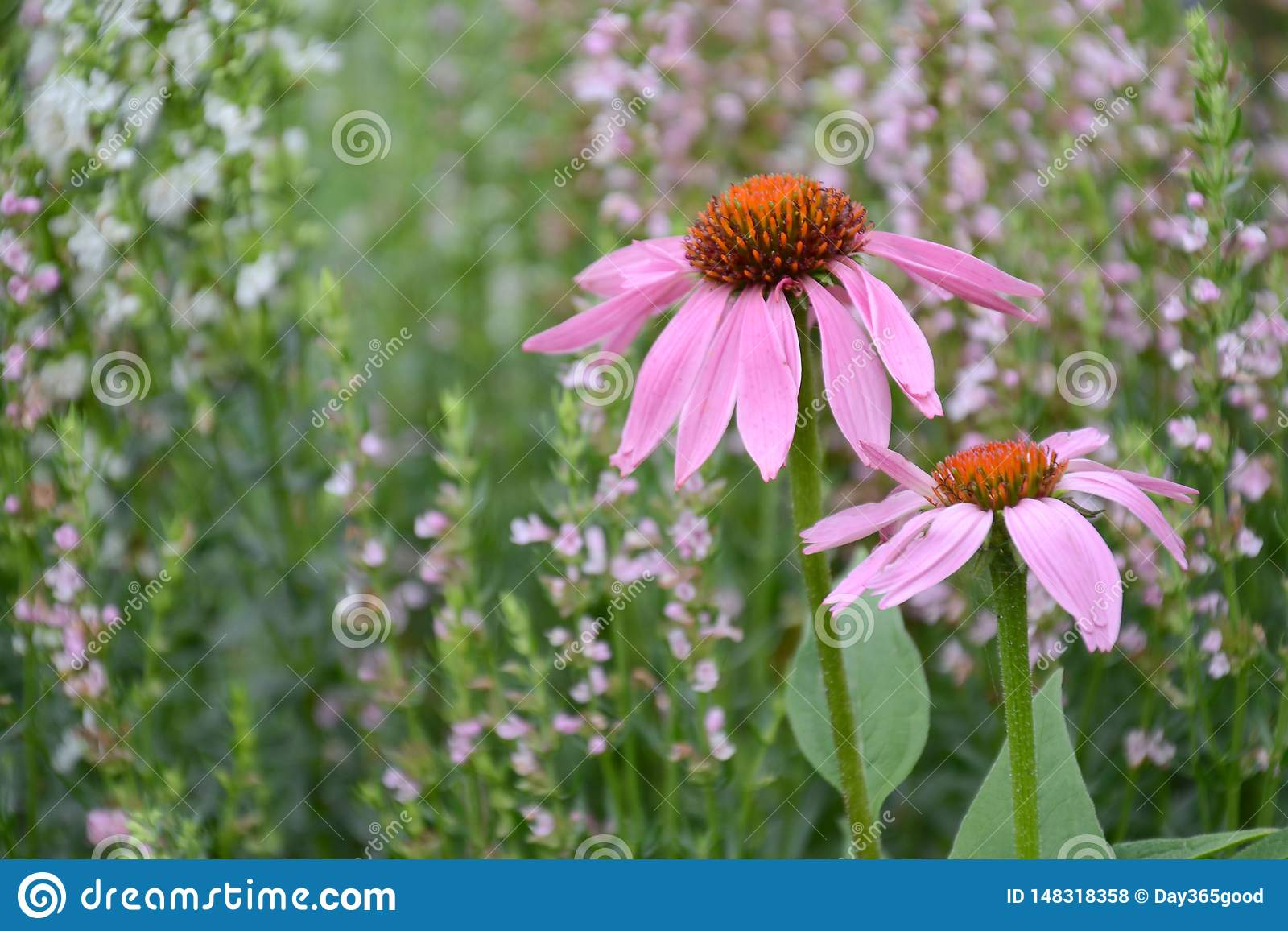 Echinacea και hyssop στο λιβάδι Θεραπεύοντας χορτάρια Ιατρικές εγκαταστάσεις και λουλούδια Μειλίχιος