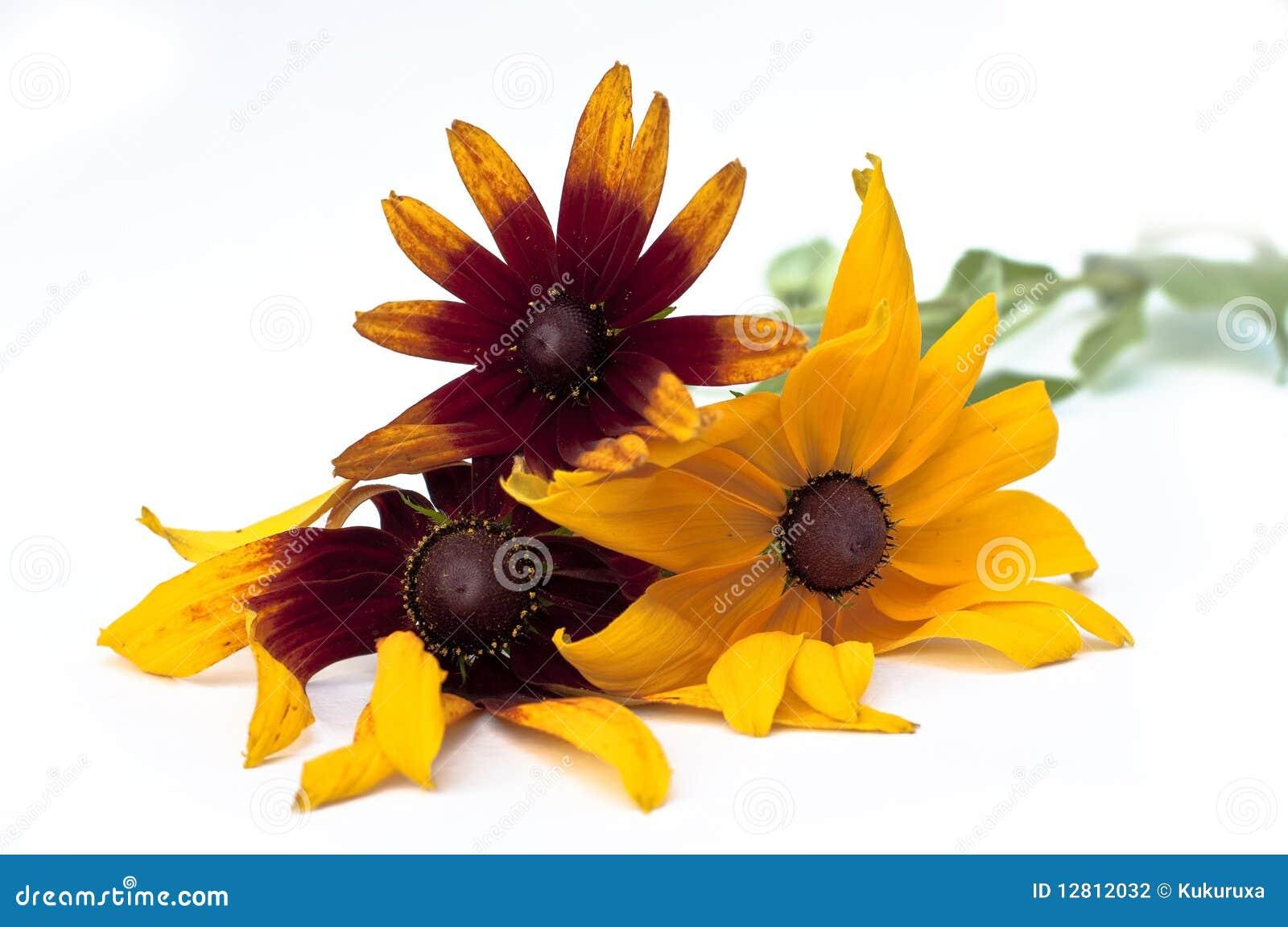 Echinacea amarelo e alaranjado