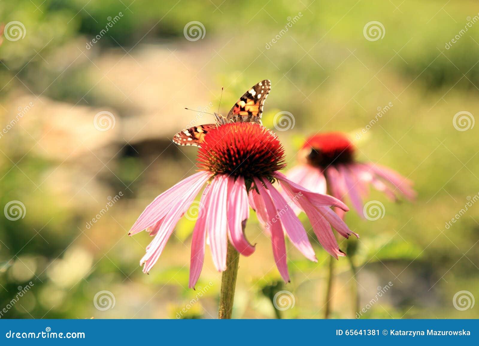 Echinacea avec des papillons