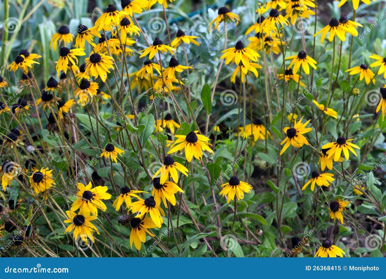 Echinacea pourpré de coneflower- - dans le jardin