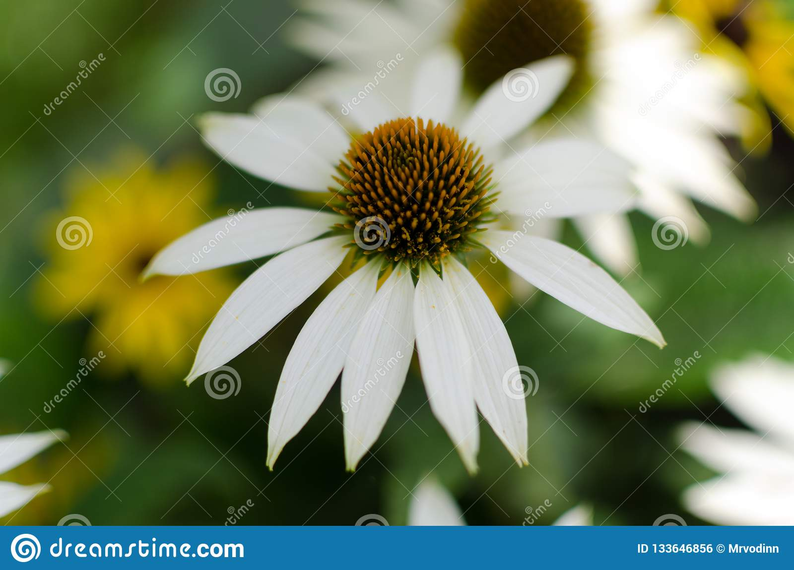 Echinacea purpurea «White swan» close up with a smudgy background of yellow and white flowers