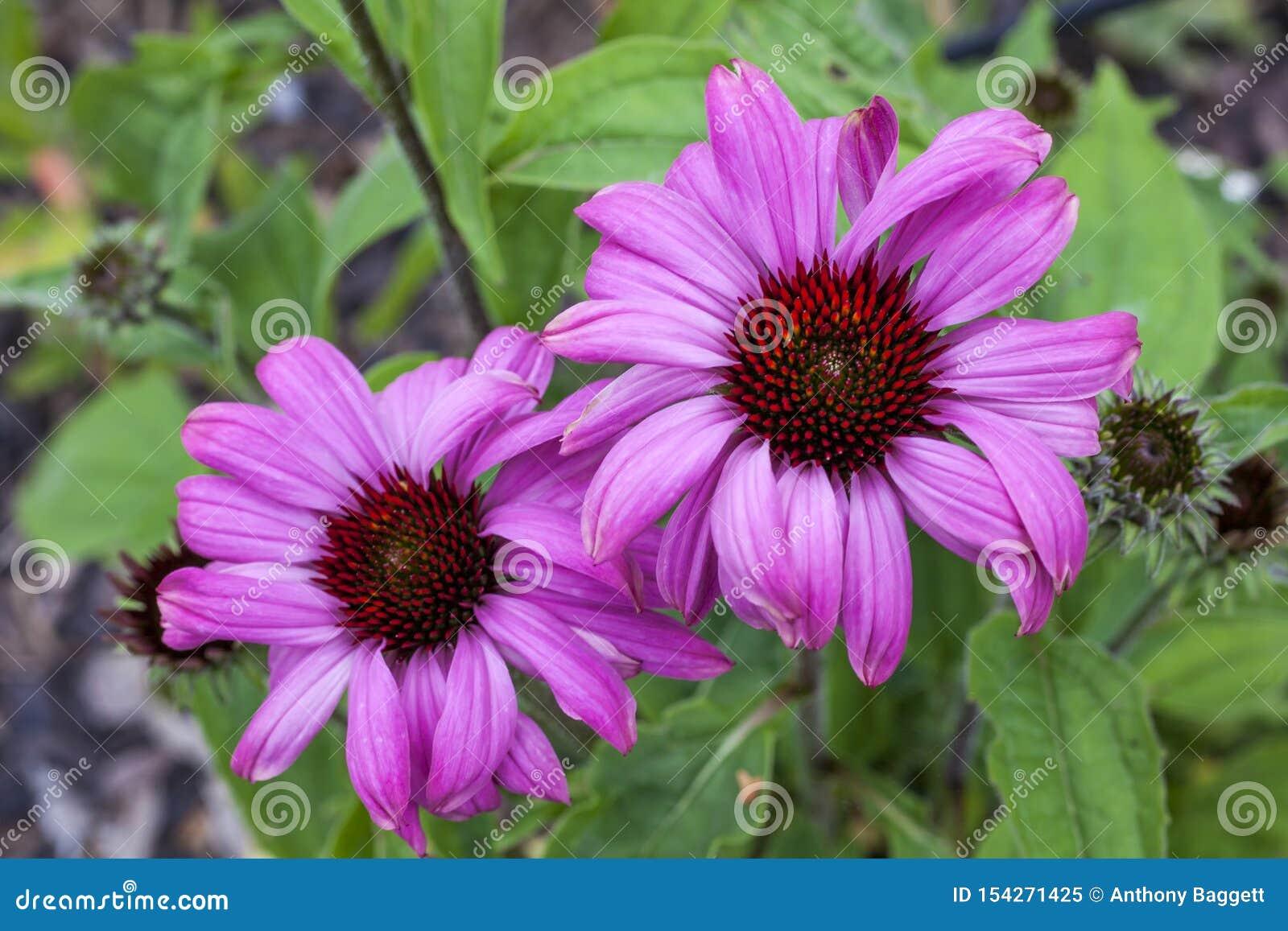 Echinacea purpurea 'Grasland-Pracht '