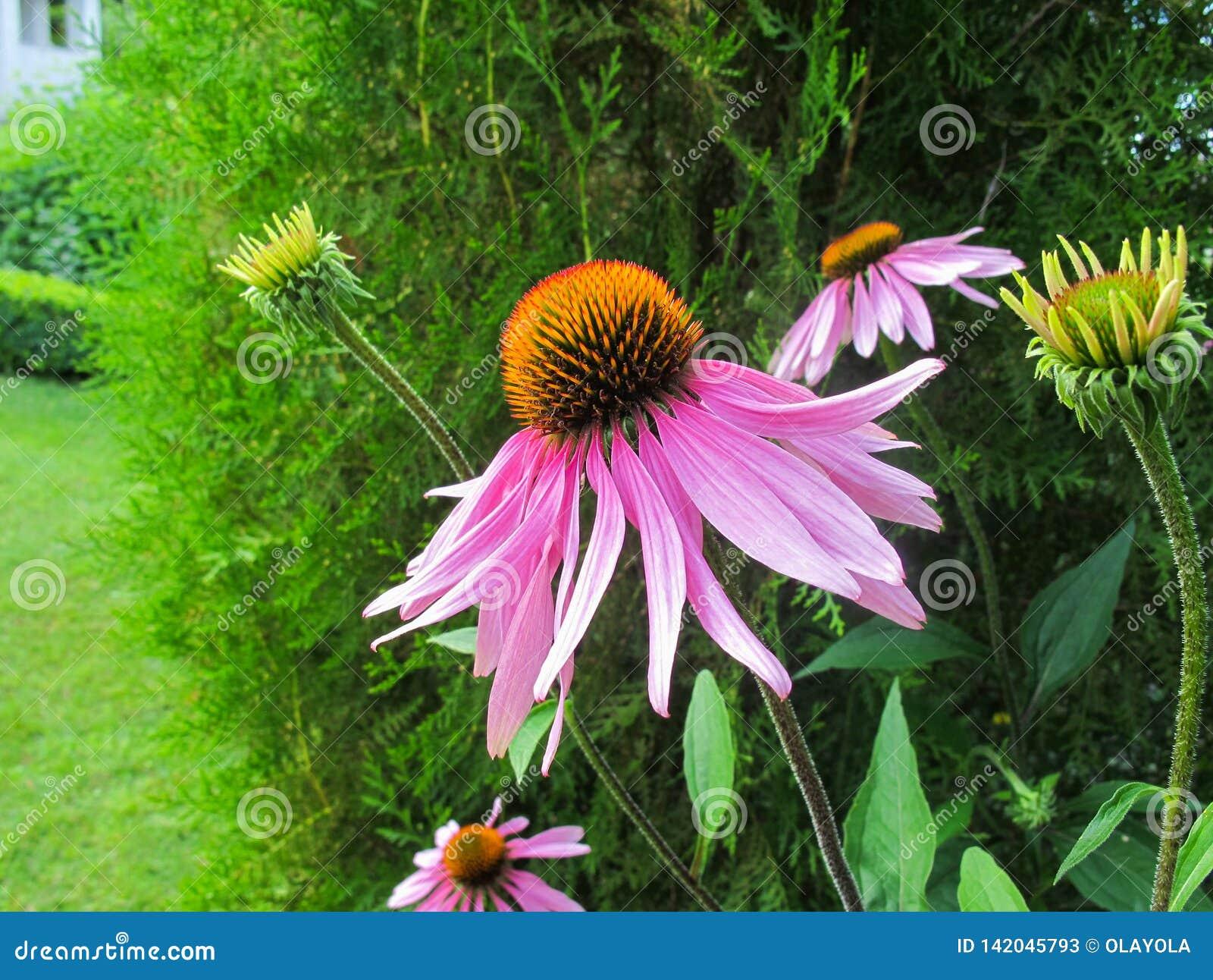 Echinacea Purpurea Coneflower Schöne purpurrote Blumen mit einer orange Mitte im Garten