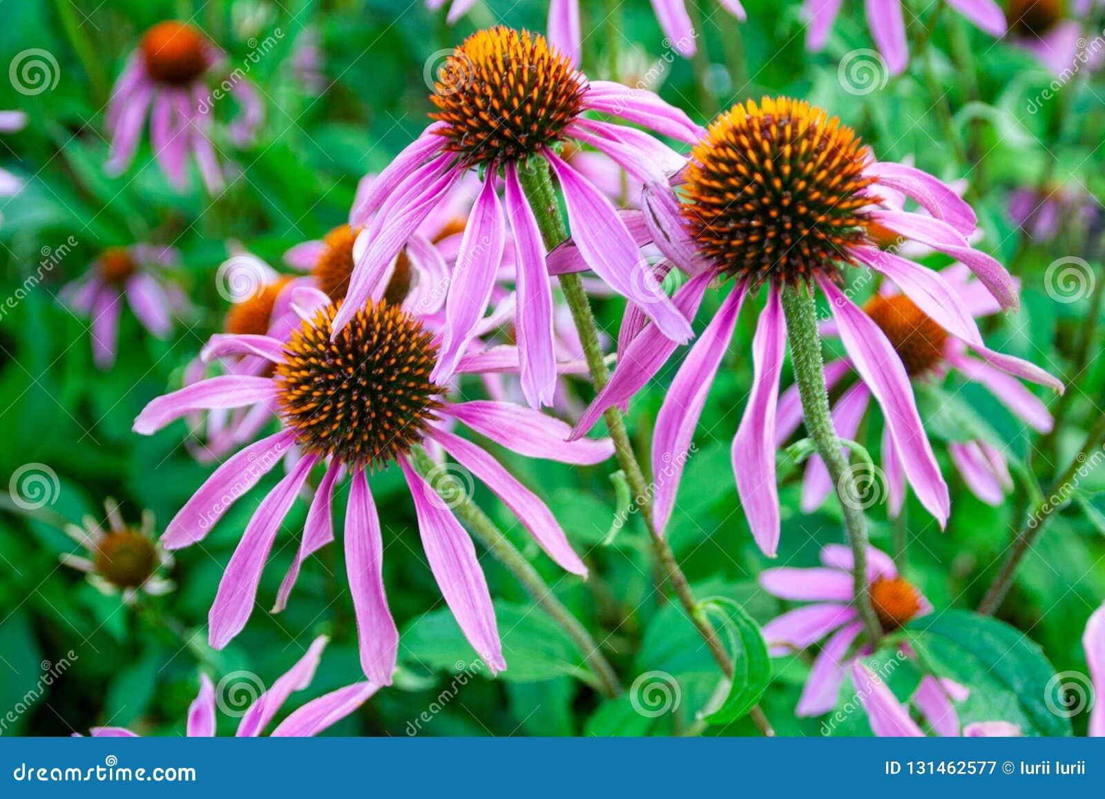 Echinacea purpurea ist ein nordamerikanisches