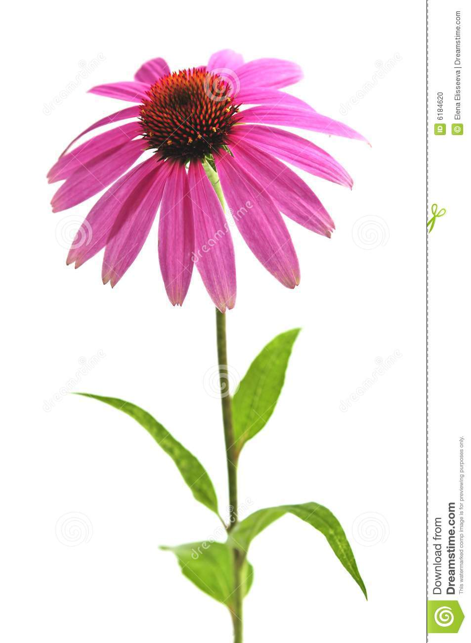 Blooming medicinal herb echinacea purpurea or coneflower isolated on ...