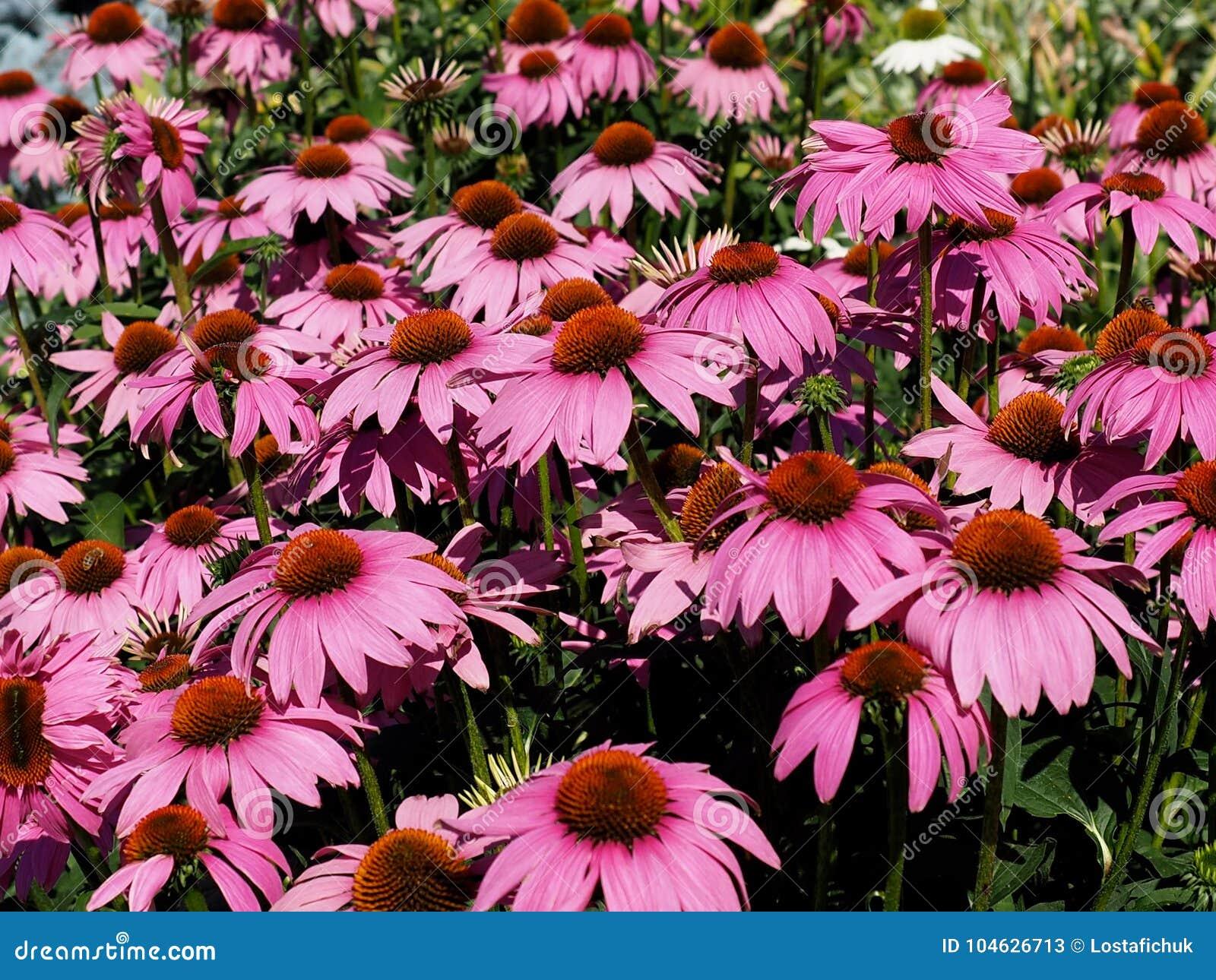 Download Echinacea Purpurea Of Purpere Kegelbloem Stock Afbeelding - Afbeelding bestaande uit installatie, geneeskrachtig: 104626713