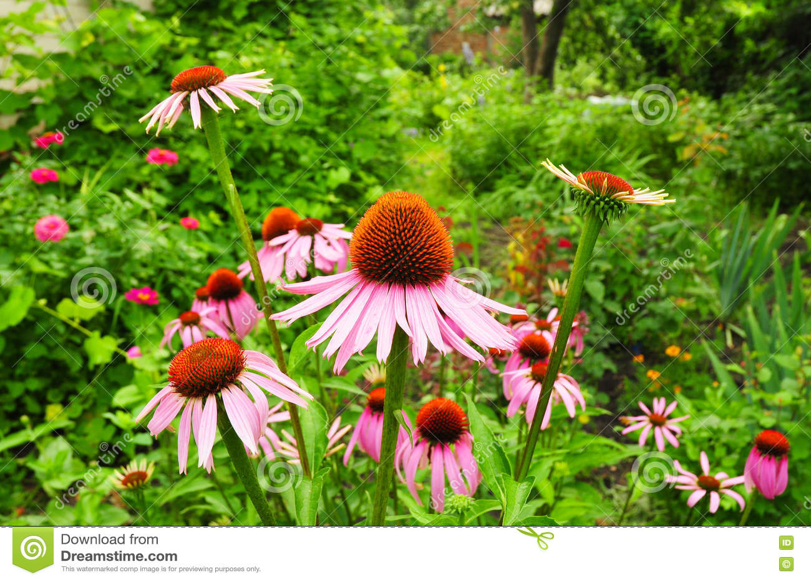 echinacea purpurea und purpurrotes coneflowers blumenbeet garten