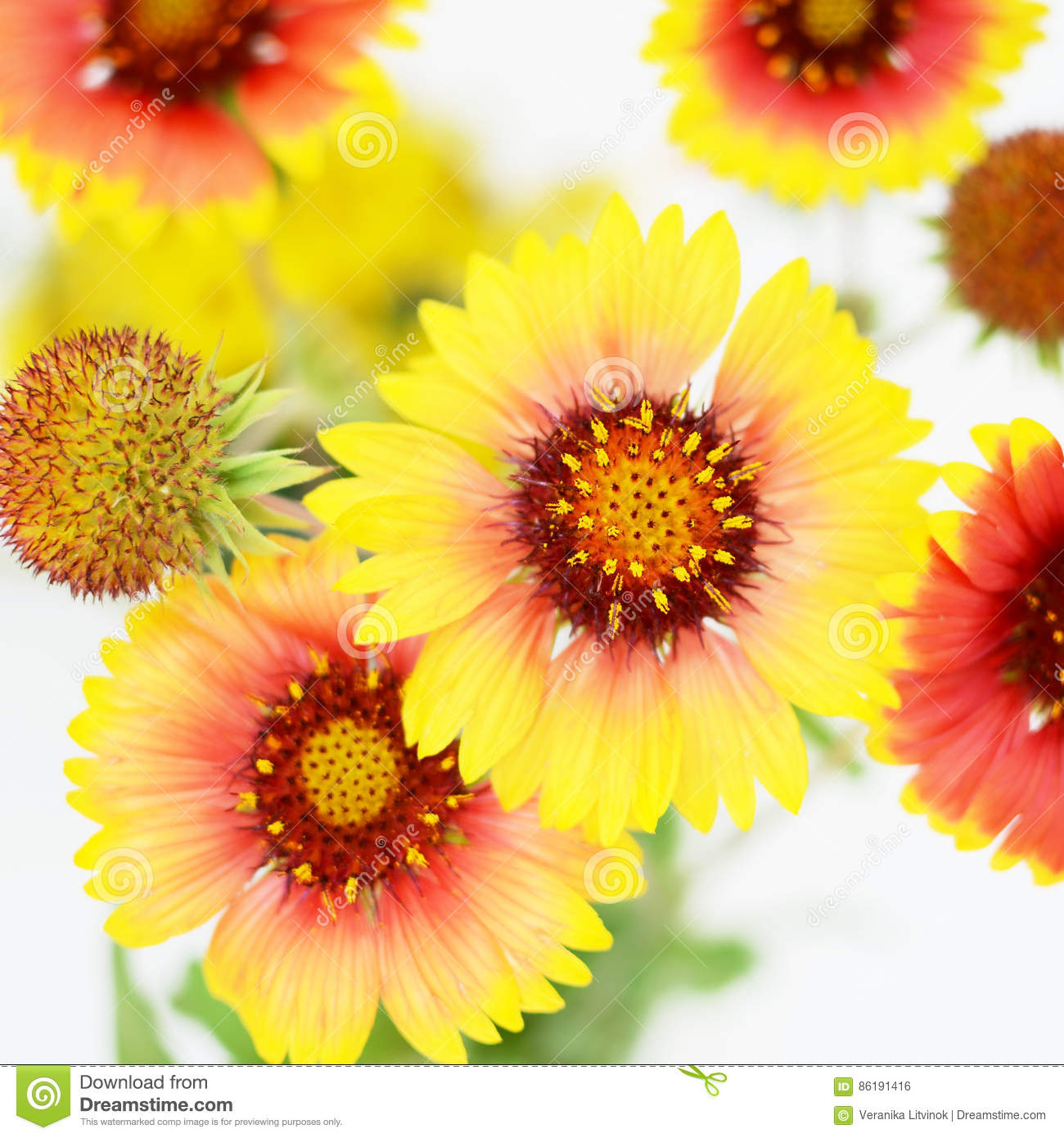 Echinacea Red And Yellow Flowers Stock Photo Image Of Echinacea