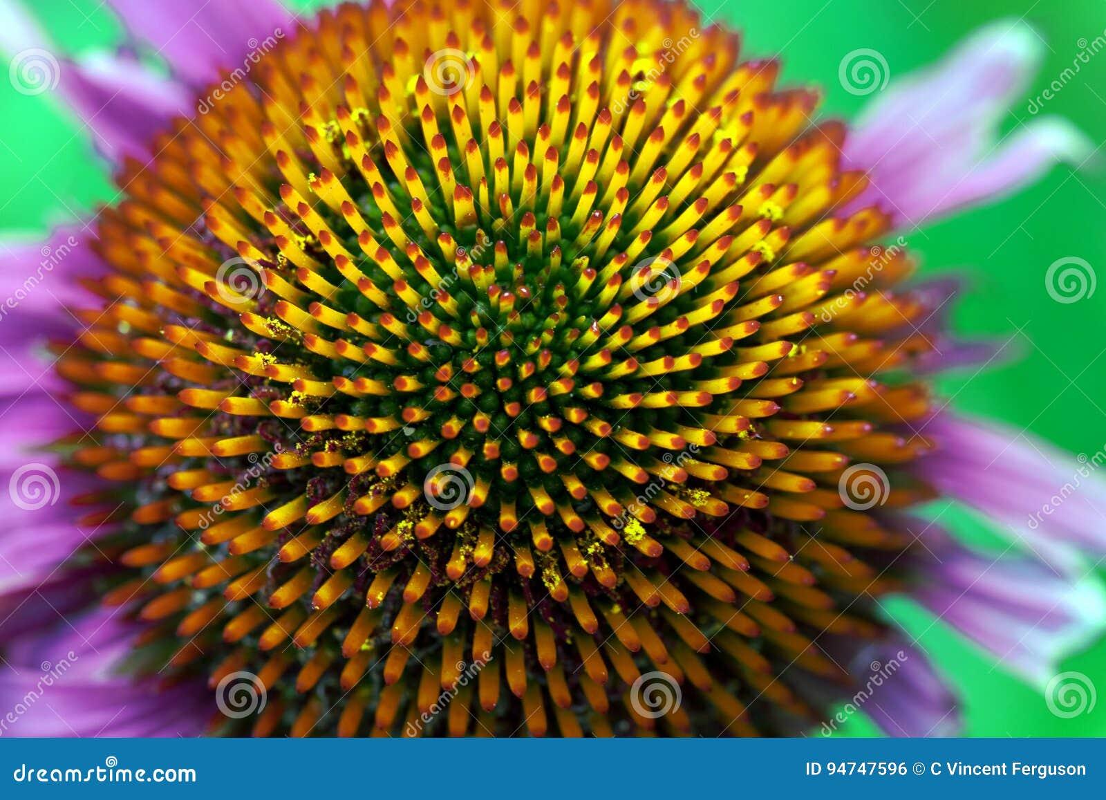 Echinacea Szyszkowi Florets