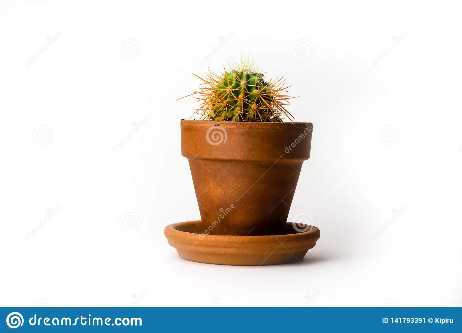 Echinocactus grusonii also known as golden barrel cactus in pot isolated on white background