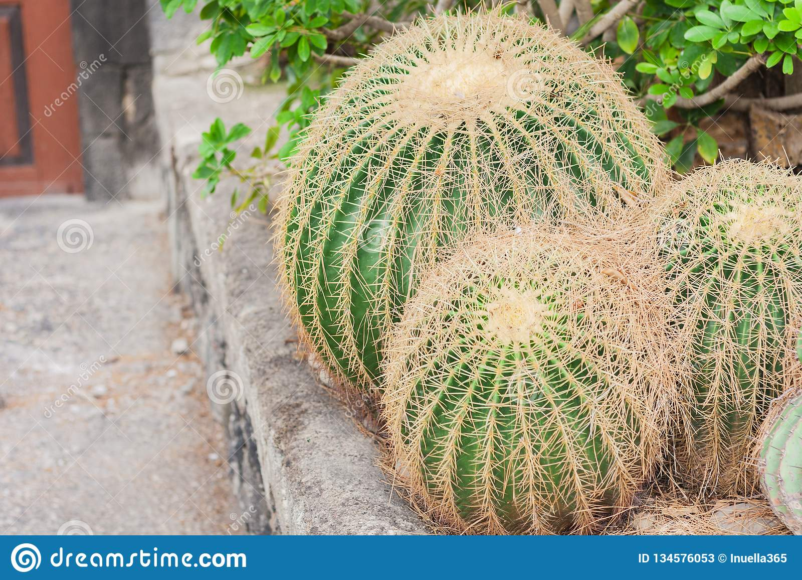Echinocactus Grusonii Cactus, also known as Golden Barrel in the garden of Acicastello, Acitrezza, Catania, Sicily