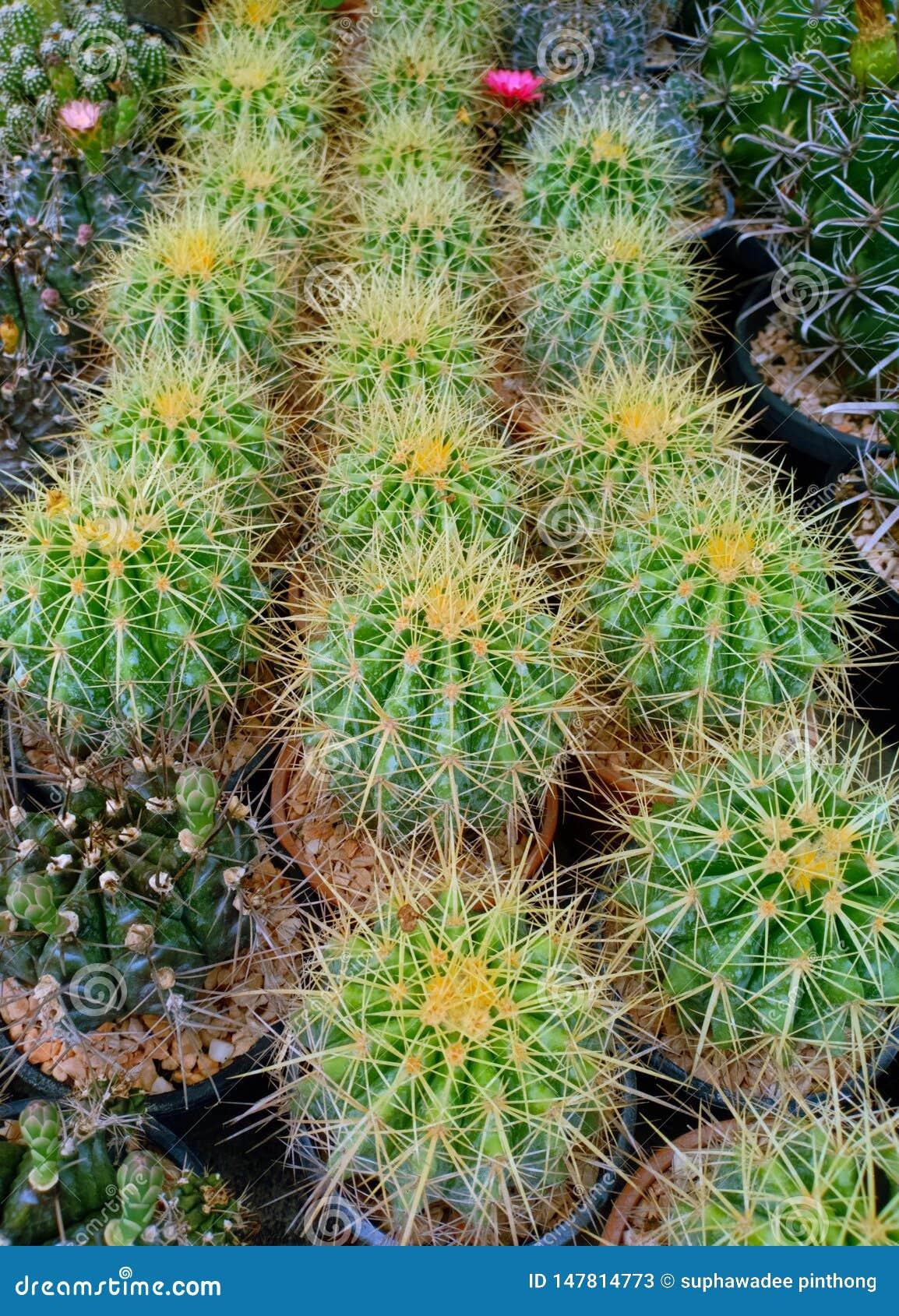Echinocactus Grusonii cactus succulent plant in flower pot image