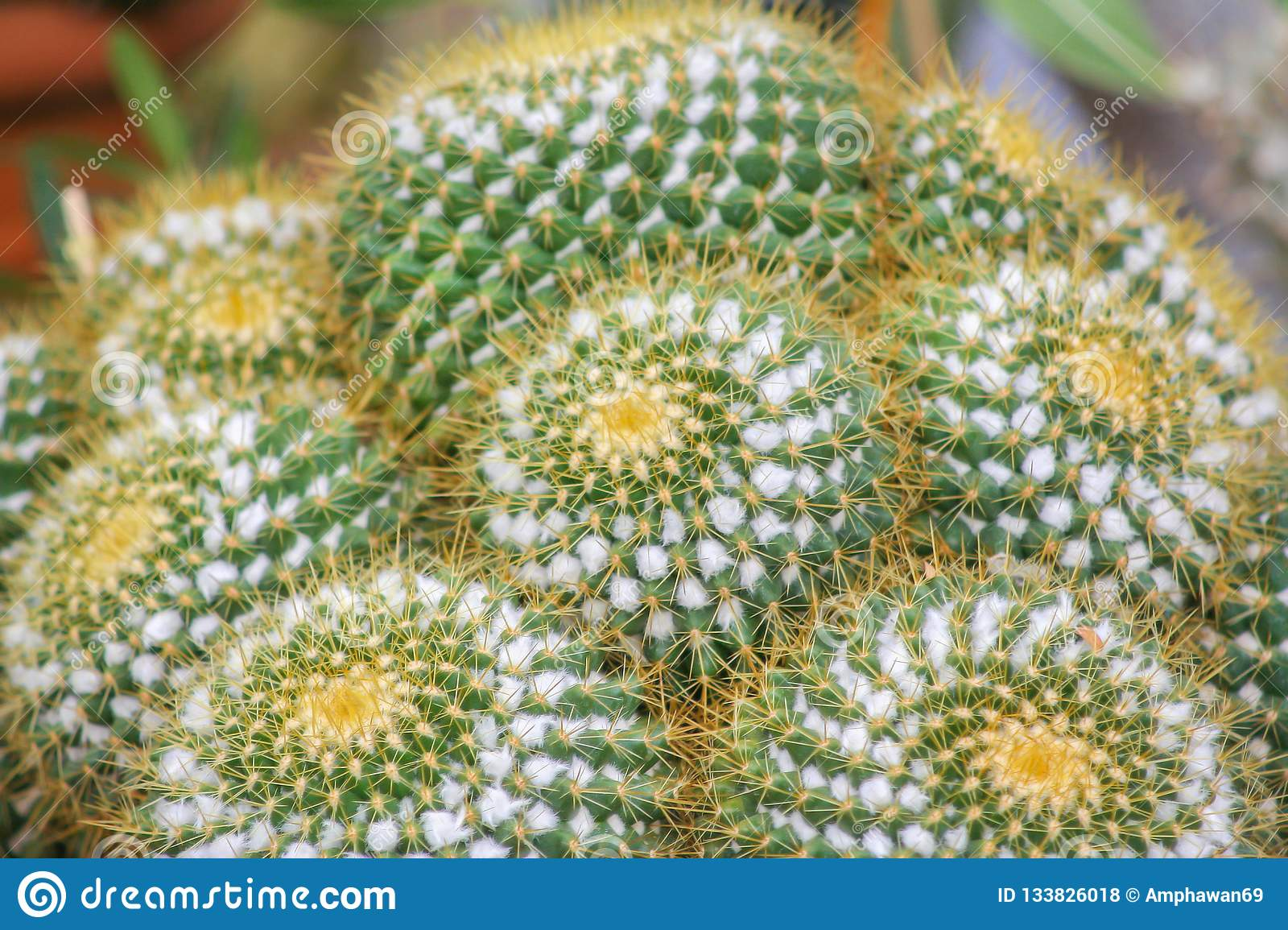 Echinocactus grusonii or golden barrel cactus ,Pot ornamental plant