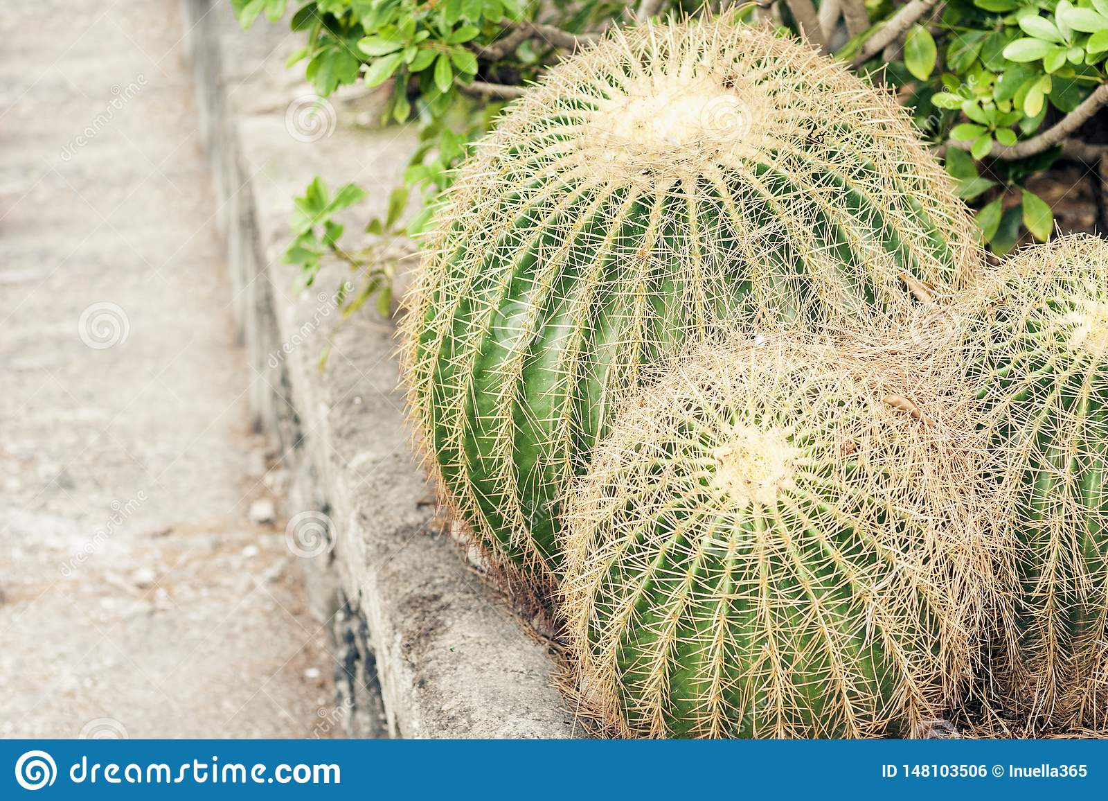 Echinocactus Grusonii kaktus, ocks? som ?r bekant som guld- trumma i tr?dg?rden av Acicastello, Acitrezza, Catania, Sicilien