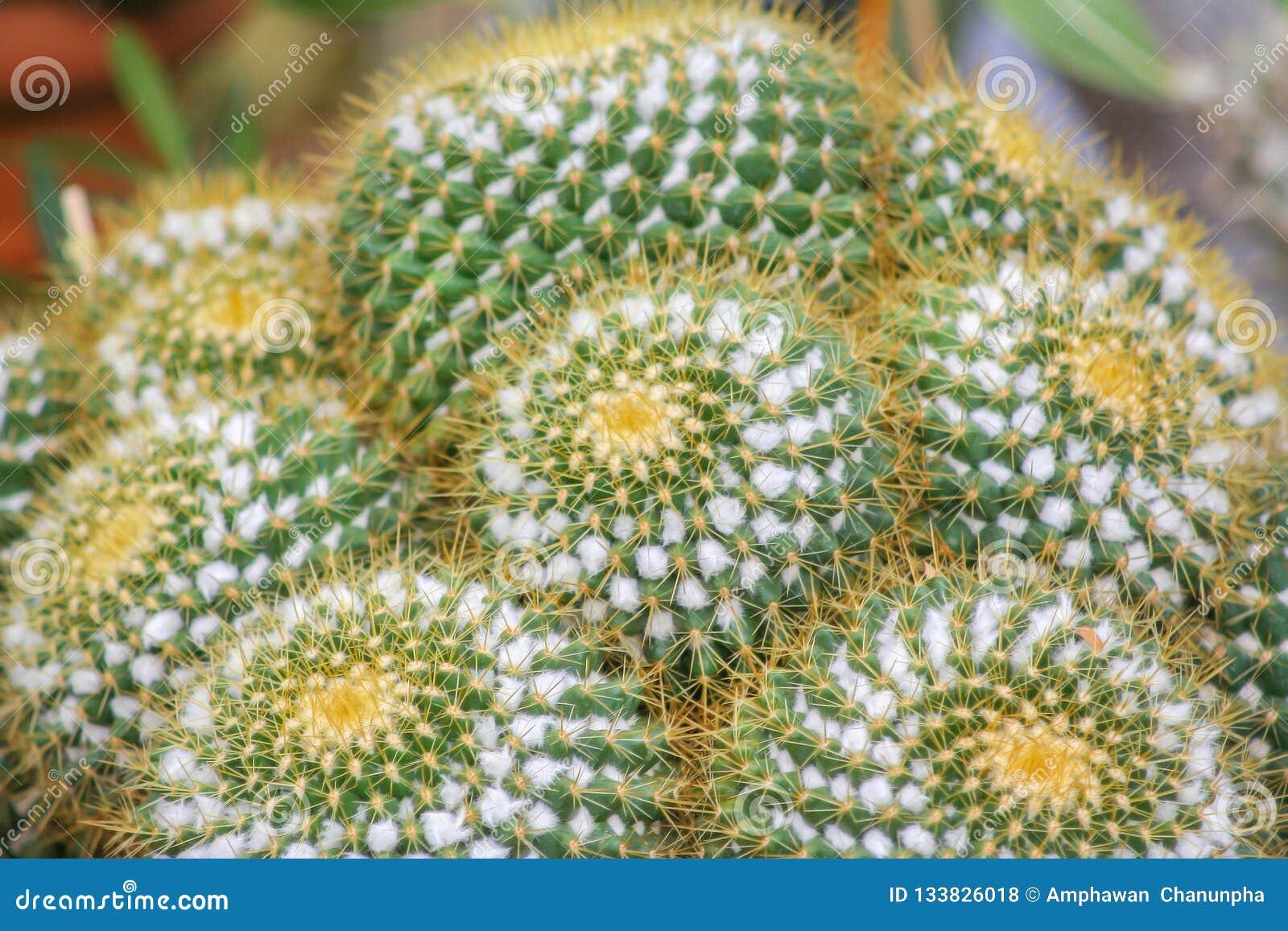 Echinocactus-grusonii oder Kaktus des goldenen Fasses, Zierpflanze des Topfes