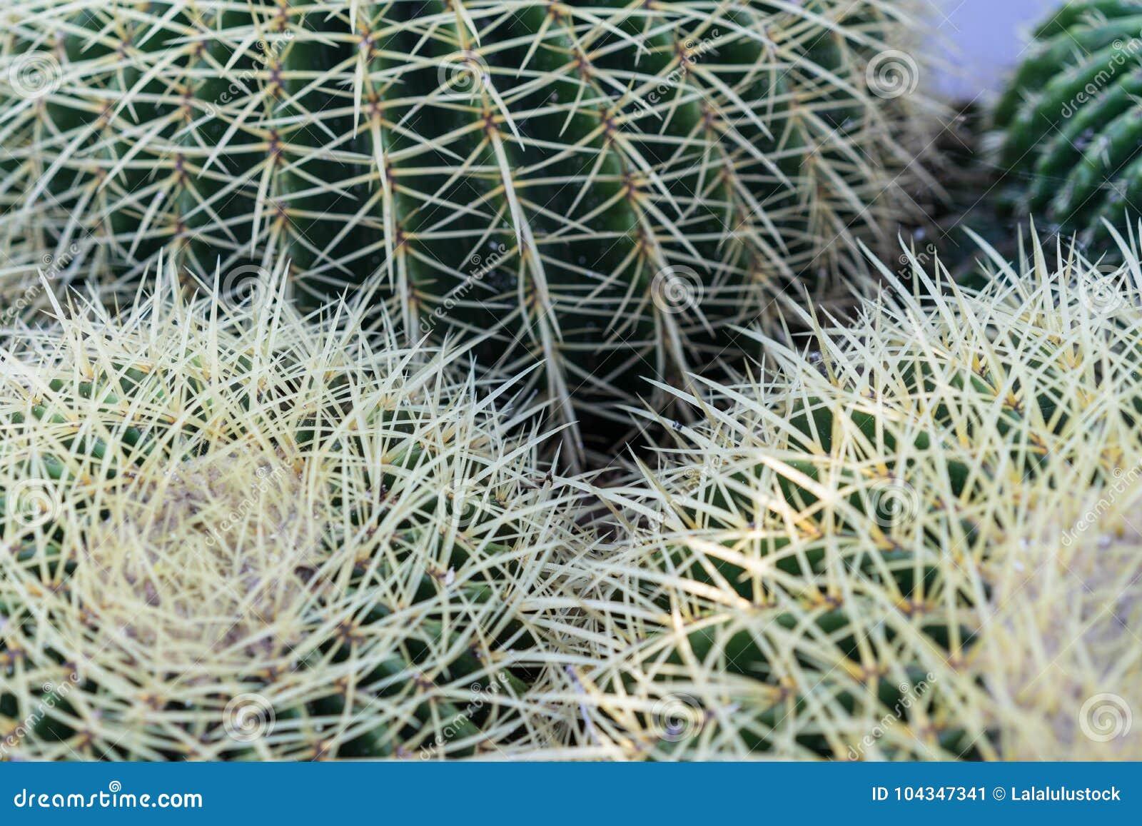 Echinocactus grusonii succulent close up background texture pattern