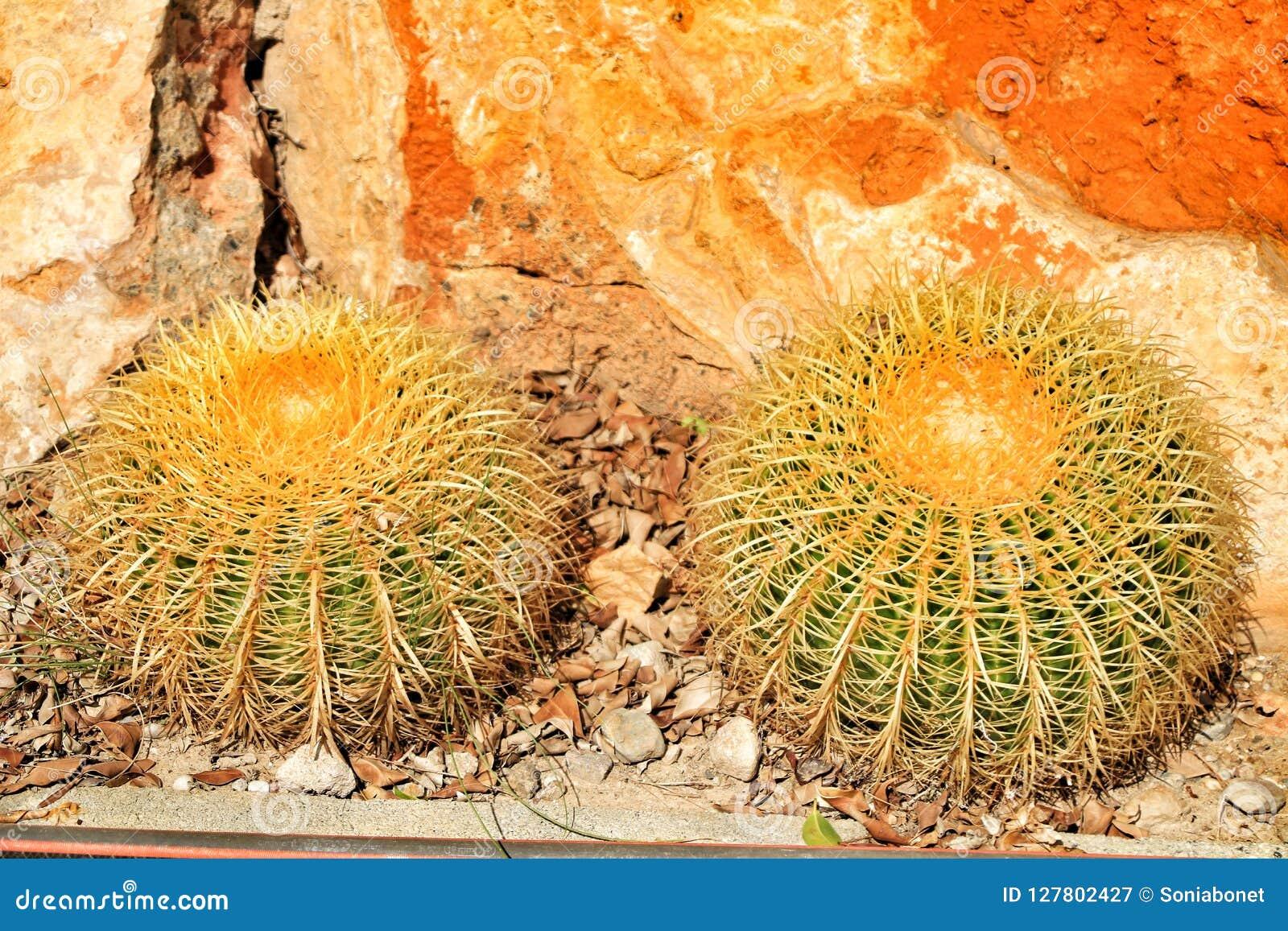 Echinocactus grusonii texture in the garden