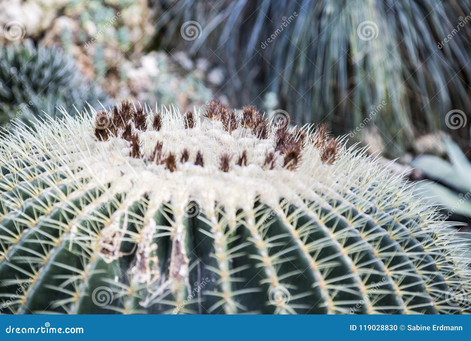 Echinocactus grusonii, złoty lufowy kaktus