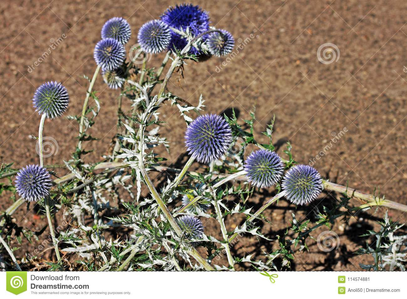 Echinops Ritro Or Small Globe Thistle Is Incredibly Ornamental