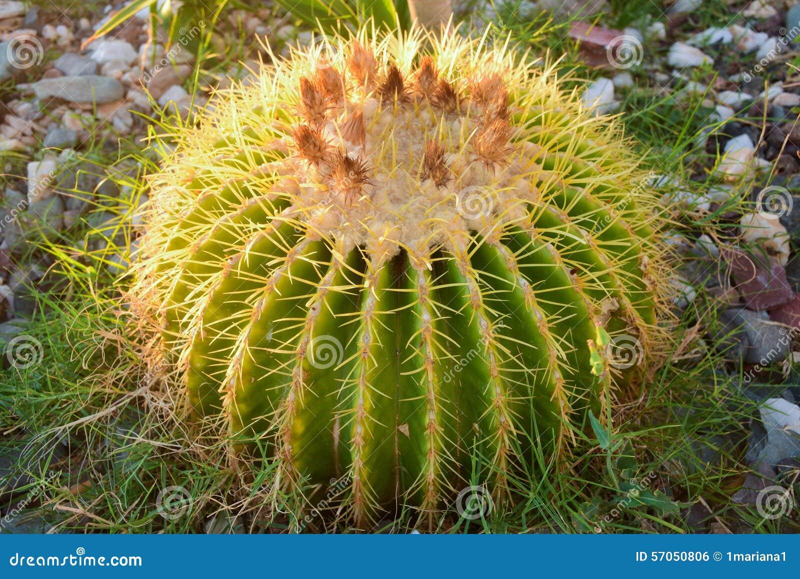 Echinopsis De cactusfamilie van de verscheidenheidswoestijn