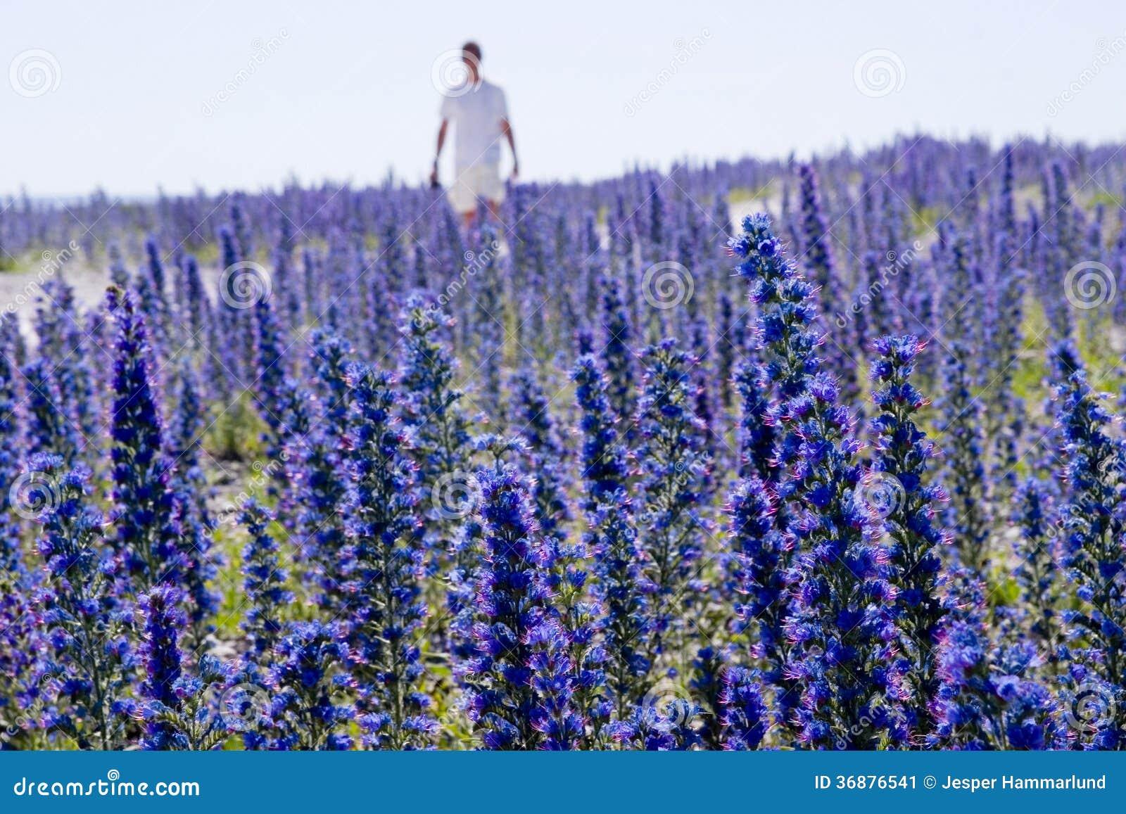 Download Echium Vulgare.JH Del Wildflower Immagine Stock - Immagine di osservare, botanico: 36876541