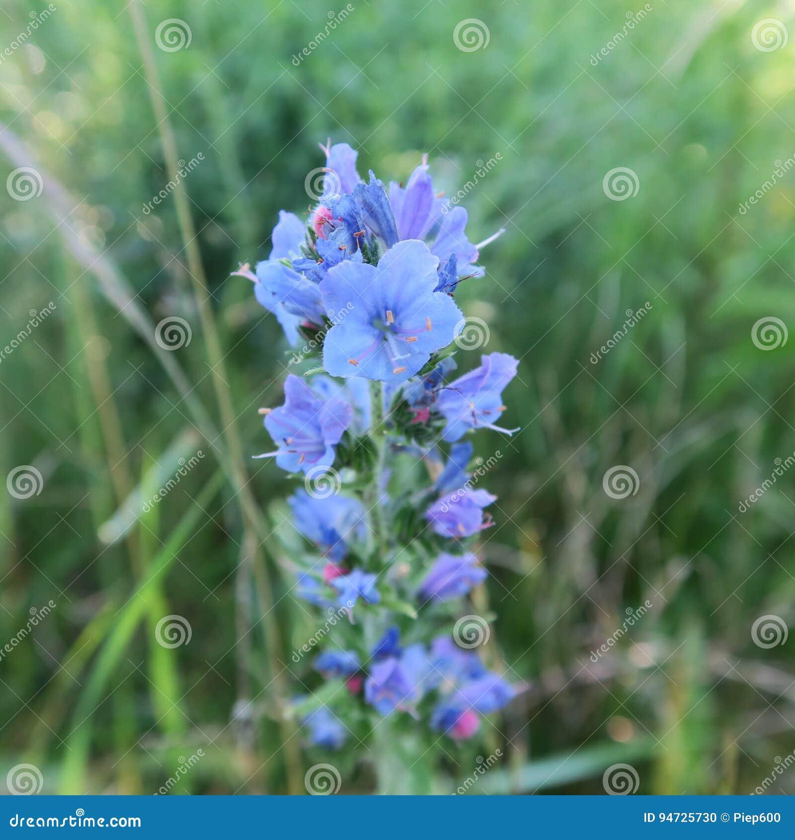 Echium Vulgare Ordinary Snakehead A Blue Flowering Perennial