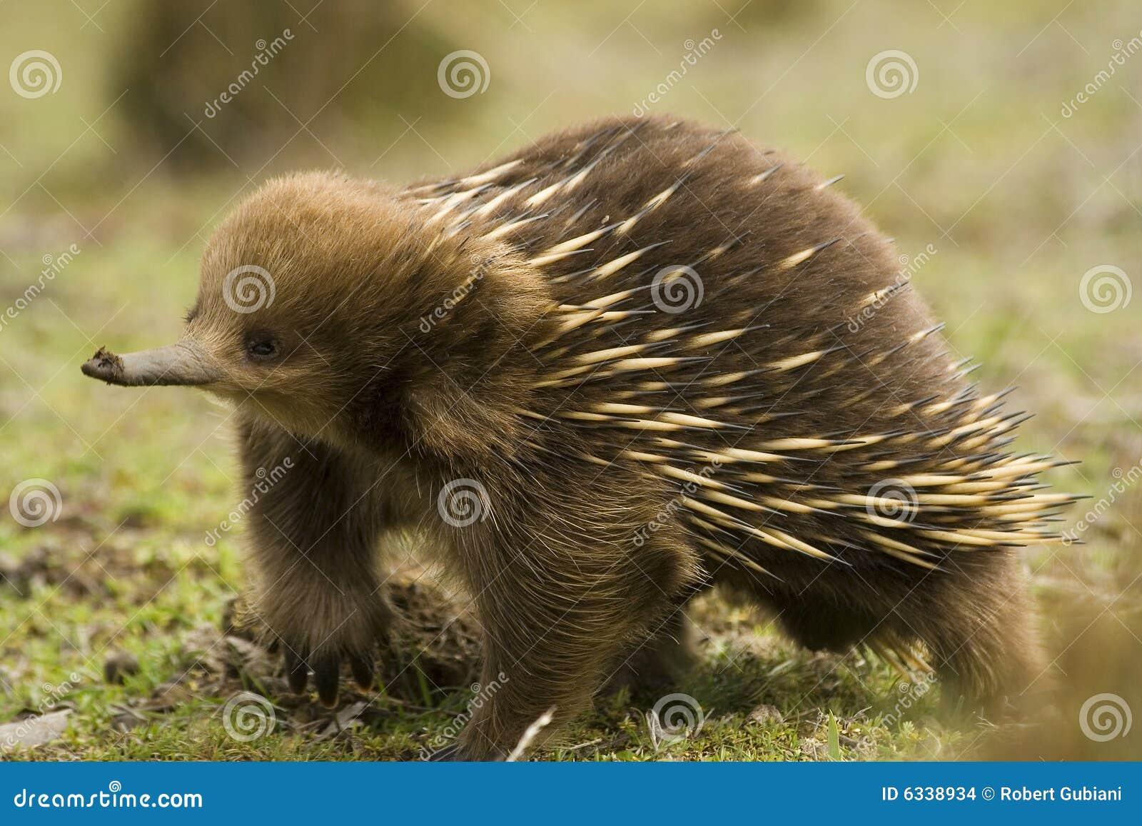 Echnida australiano
