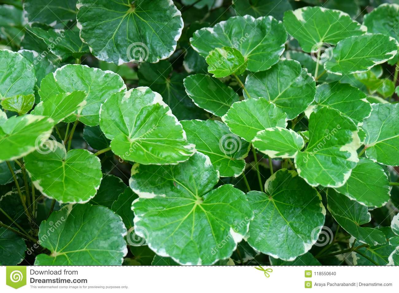 Background of Beautiful Fresh Polyscias Leaves in A Garden