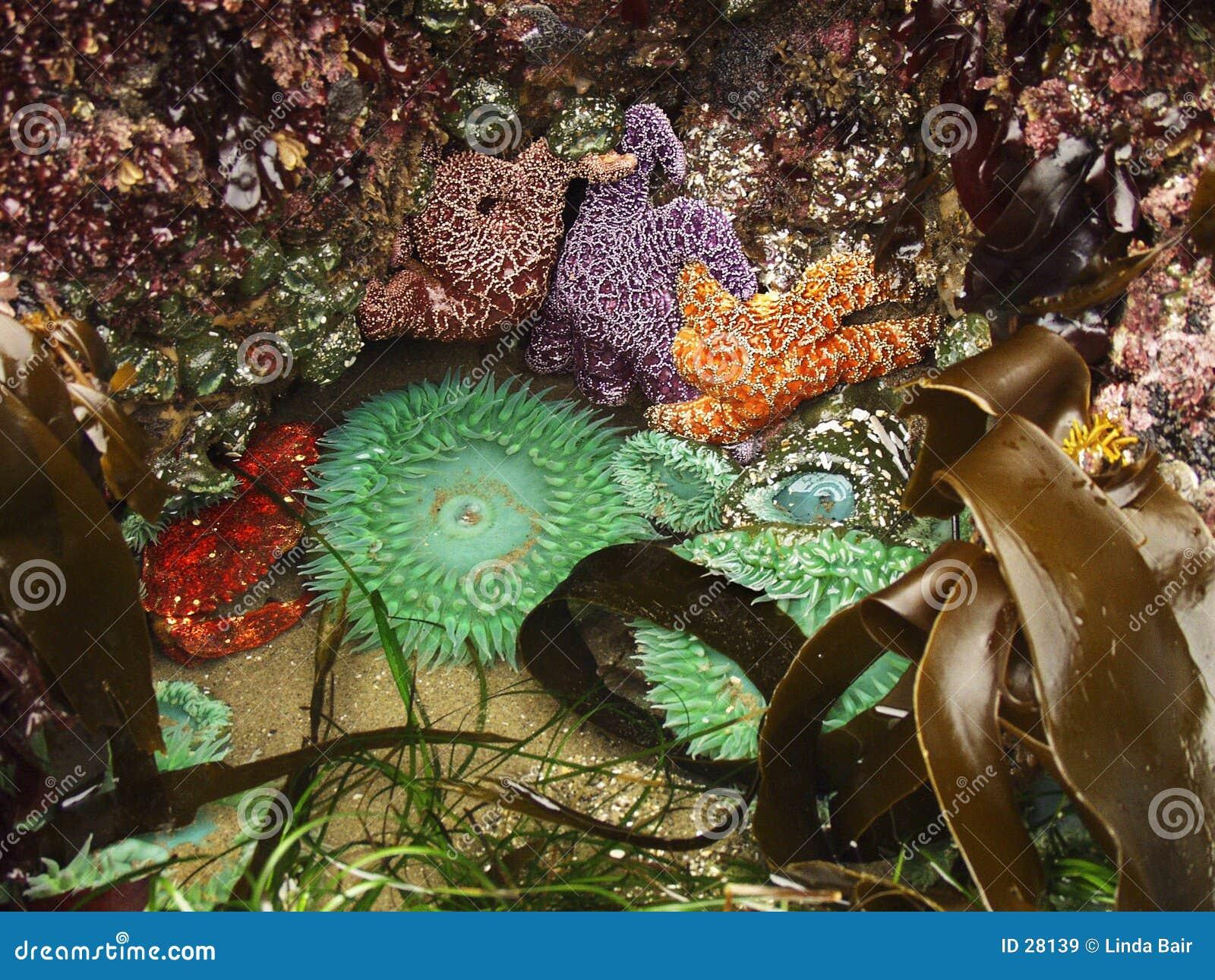 Ecosistema de la piscina de la marea