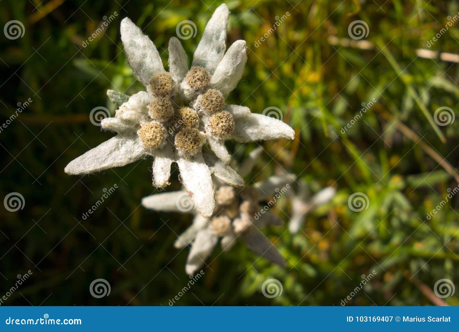 Edelweiss花,罗马尼亚语喀尔巴汗的看法在Bucegi山的