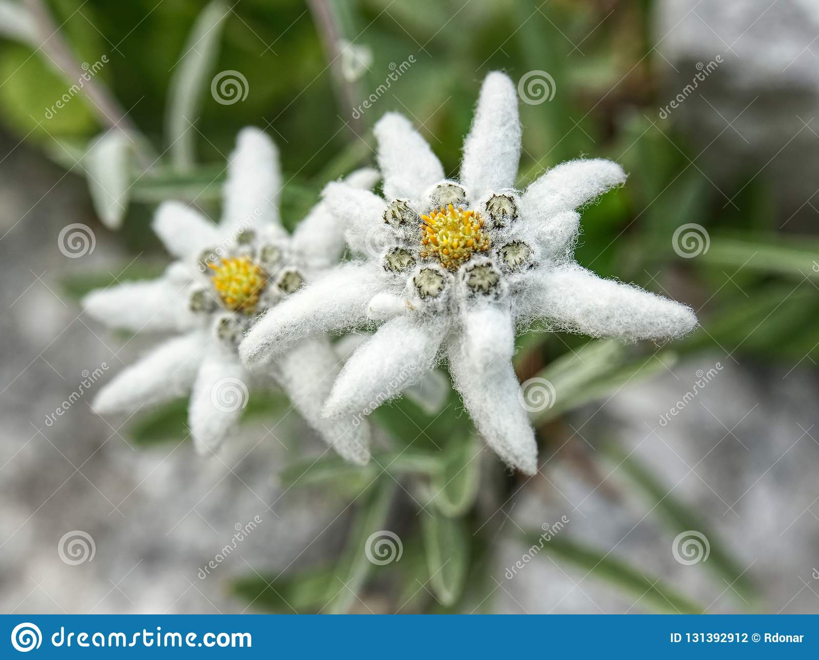 Edelweiss beautiful mountain flower. Scientific name - Leontopodium alpinum