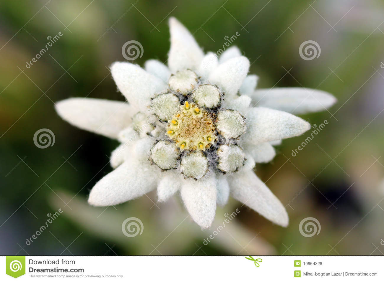 Edelweiss Flower Royalty Free Stock Photos - Image: 10654328