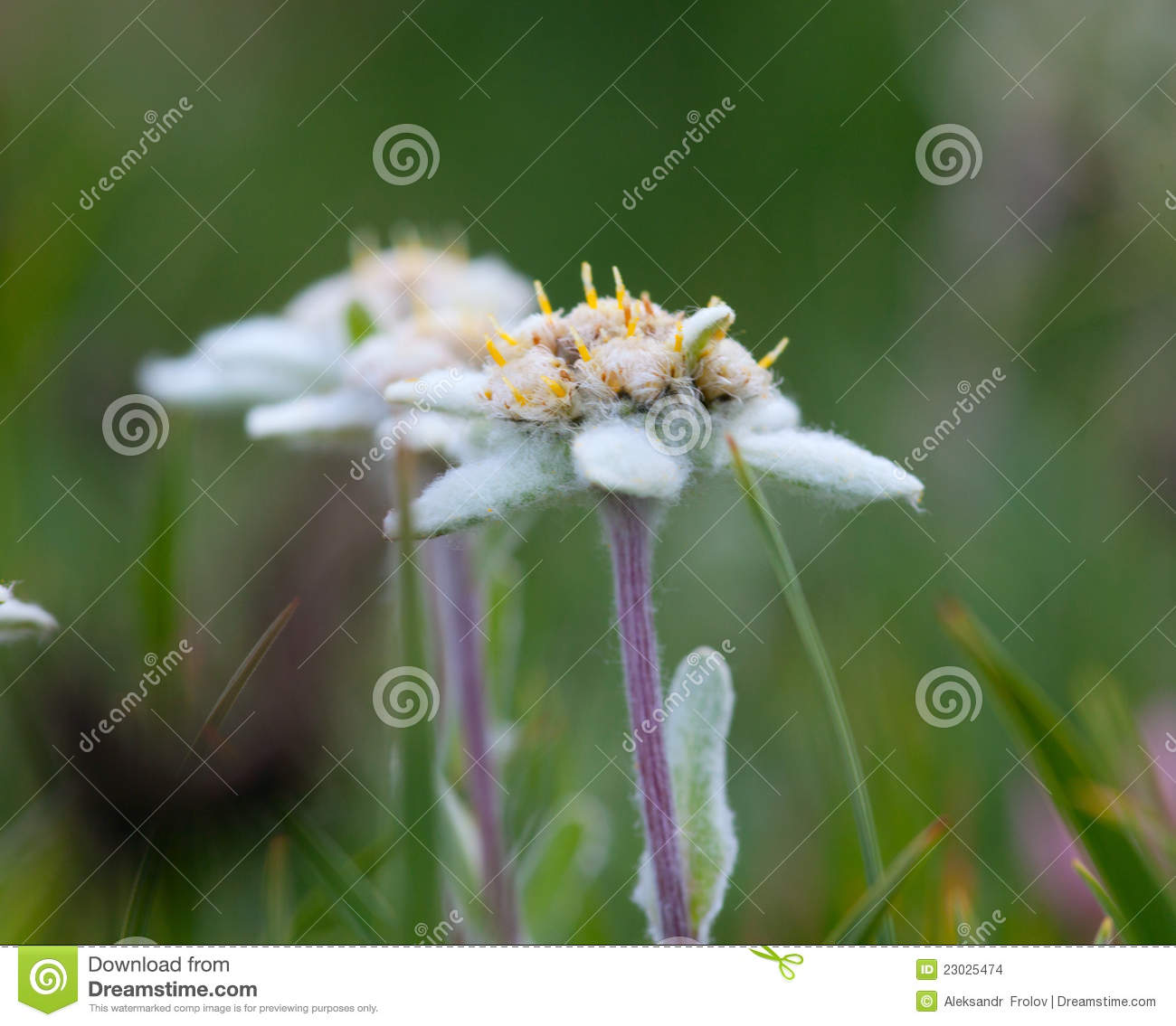 Edelweiss Flower Close-up Stock Images