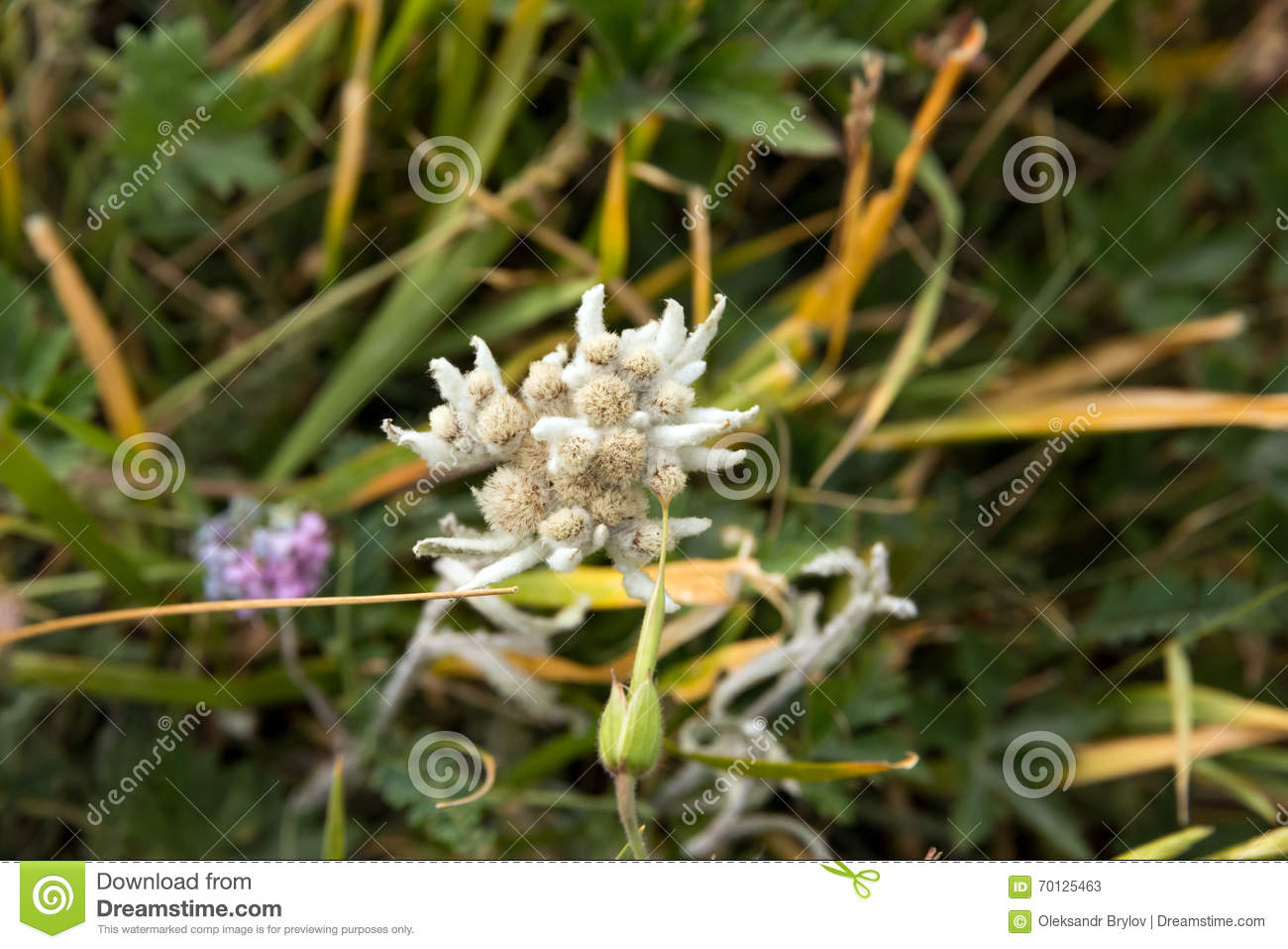 Edelweiss Flower Close Up Image From Top Stock Image , Image