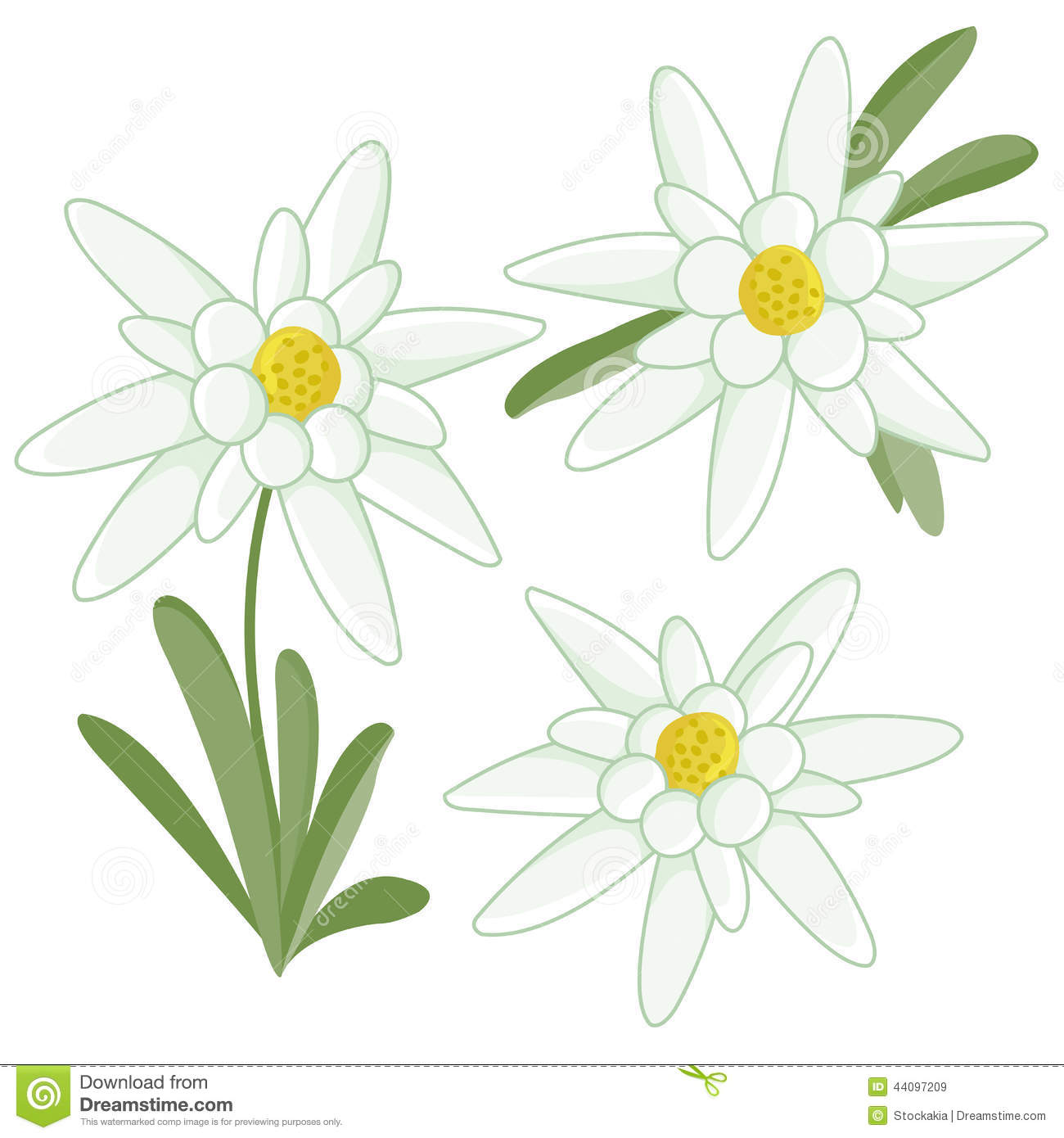 Edelweiss Flowers Stock Vector