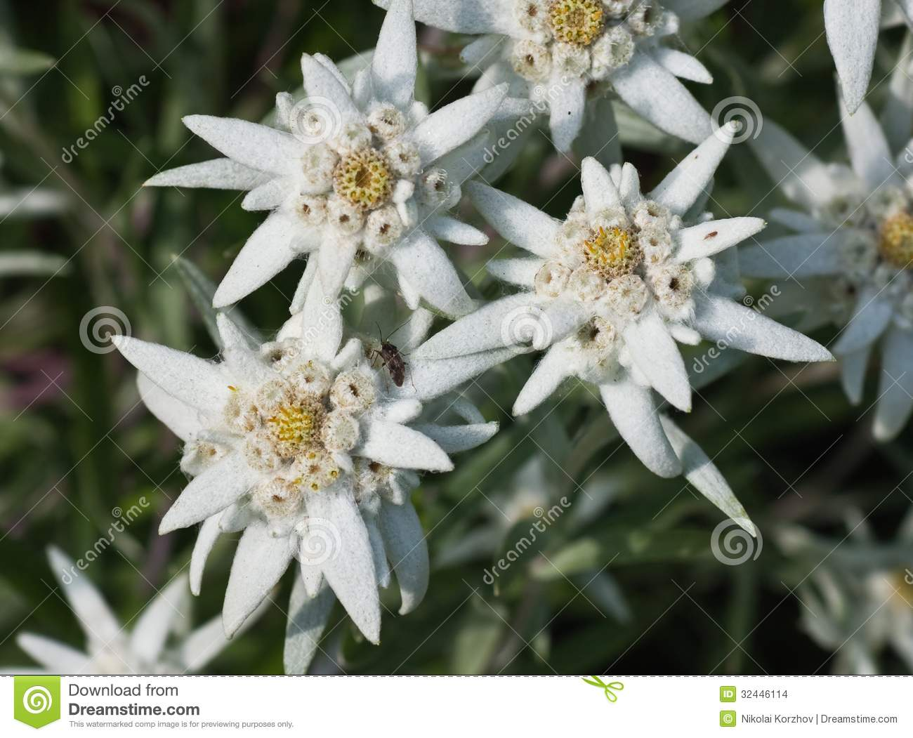 Edelweiss Flowers Stock Images Image 32446114