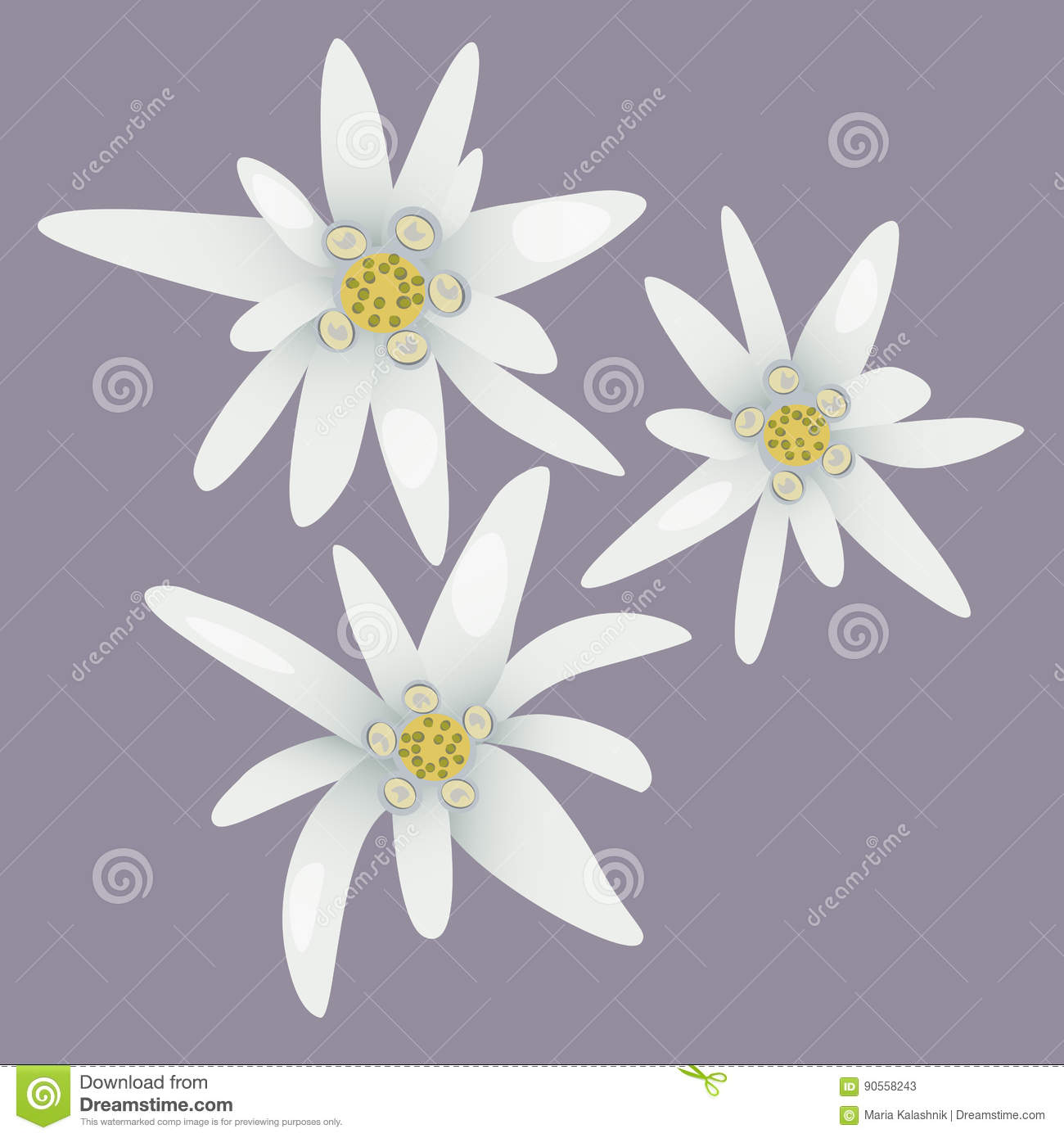 Edelweiss Flowers. White Flowers. Stock Vector