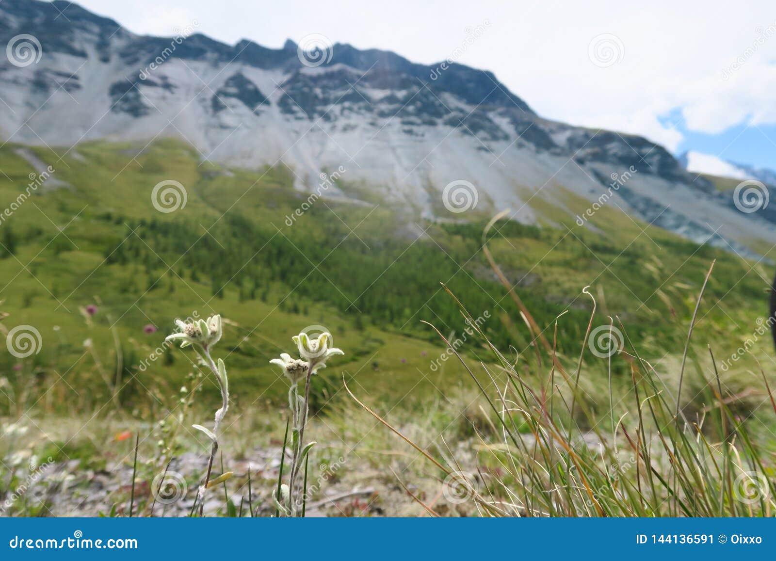Edelweissbloemen op de achtergrond van bergen Het landschap van de bergzomer, groene aard scape bergen