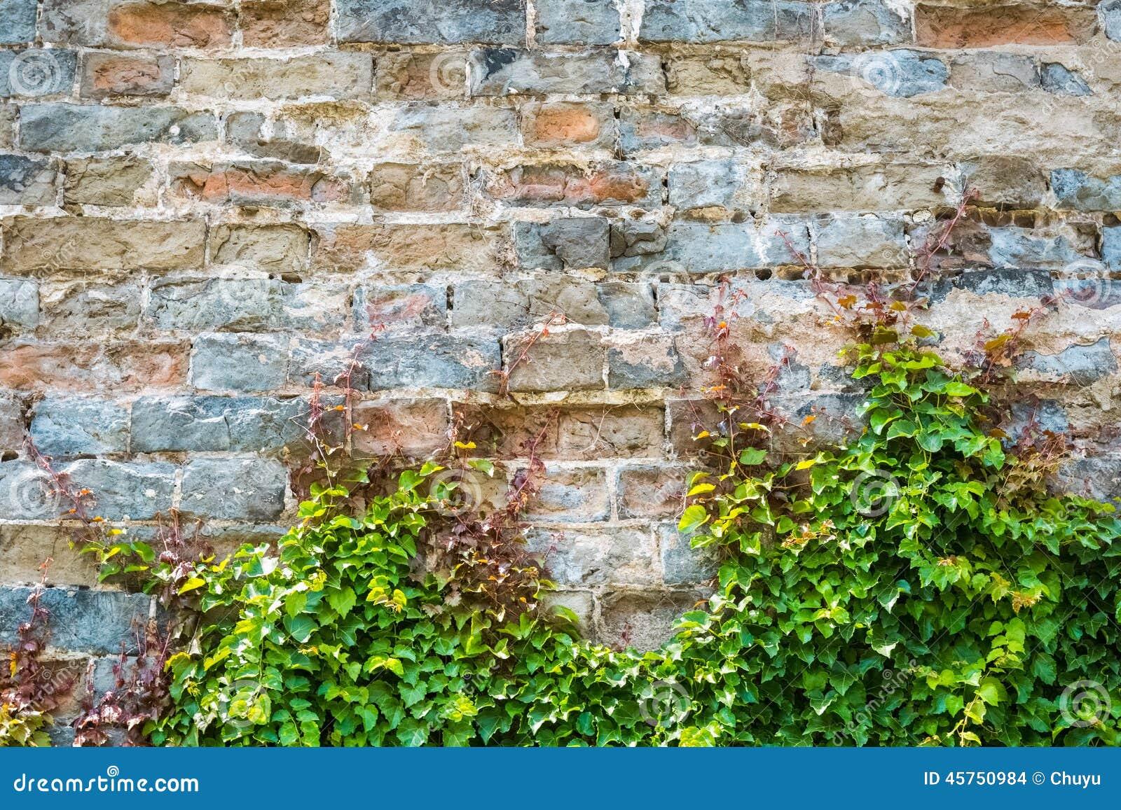 Edera con il vecchio muro di cinta