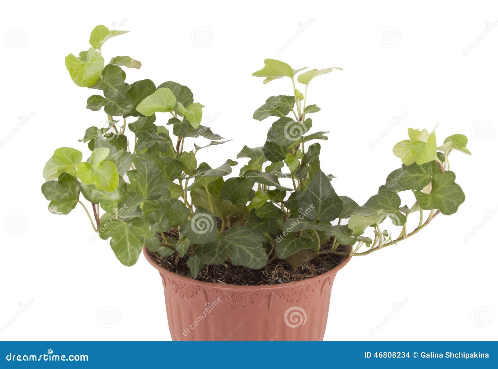 Edera Pianta Da Interno edera della pianta da appartamento fotografia stock
