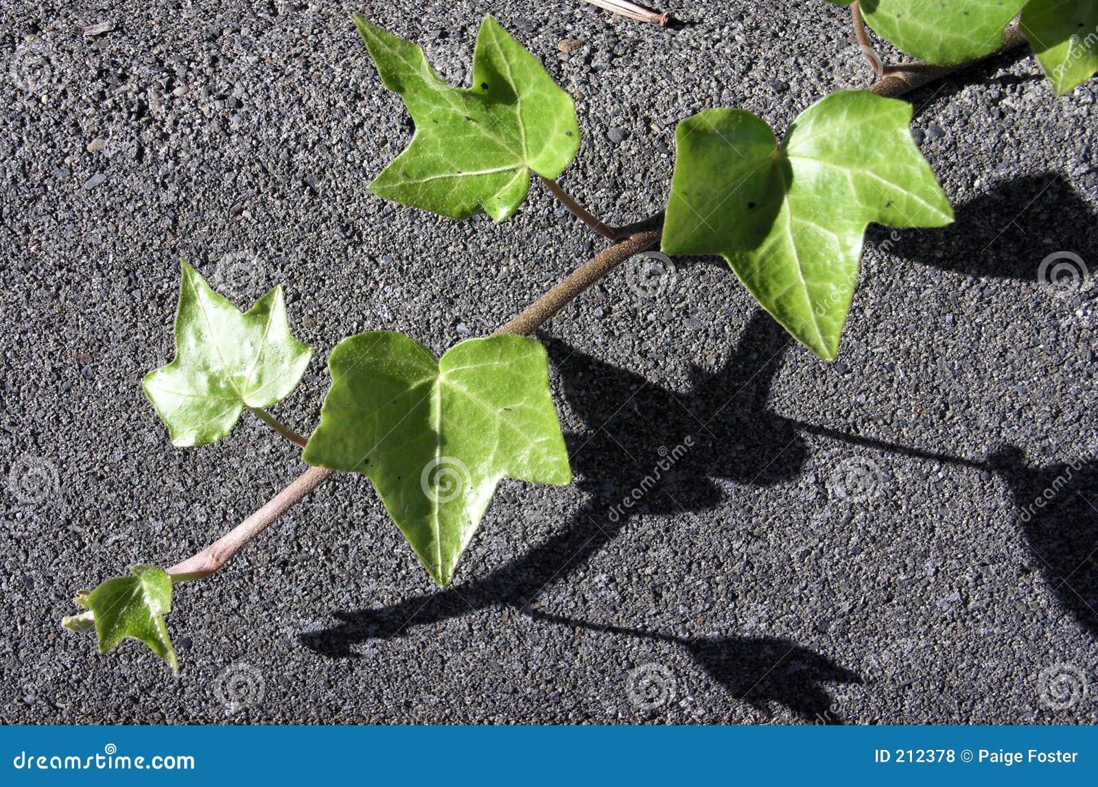 Edera su asfalto