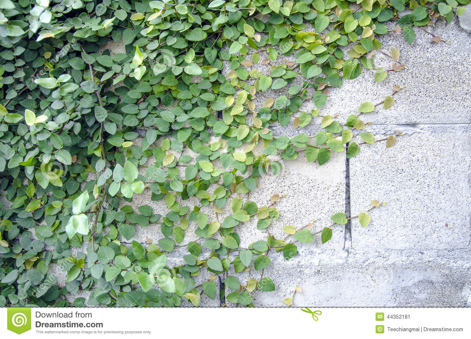 Edera su un muro di mattoni